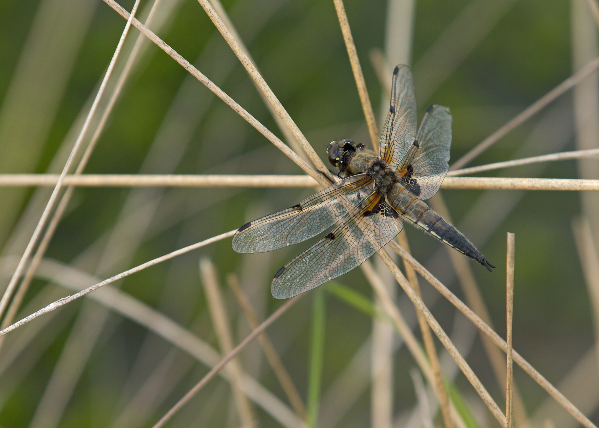 Four-spotted Chaser, Foulshaw Moss