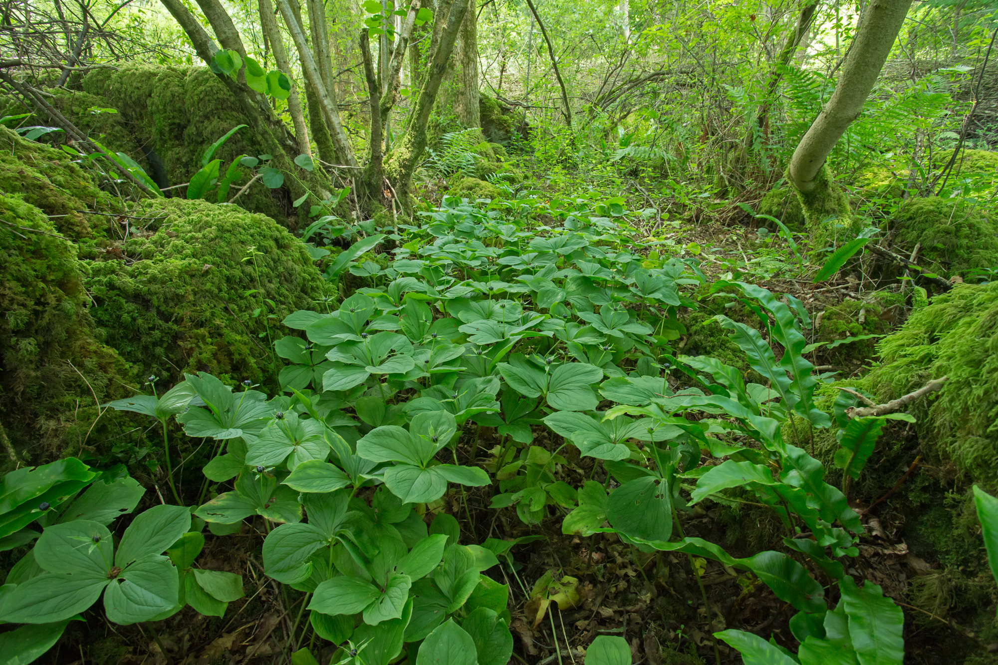 A lush stand of Herb Paris, ancient woodland indicator