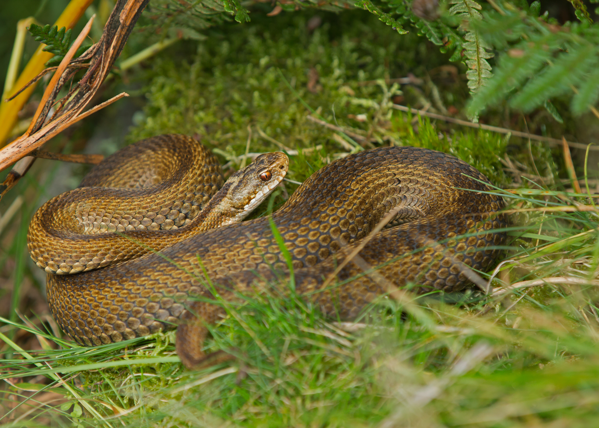 Adder (or Common Viper) - an unusual variant female, Bowland