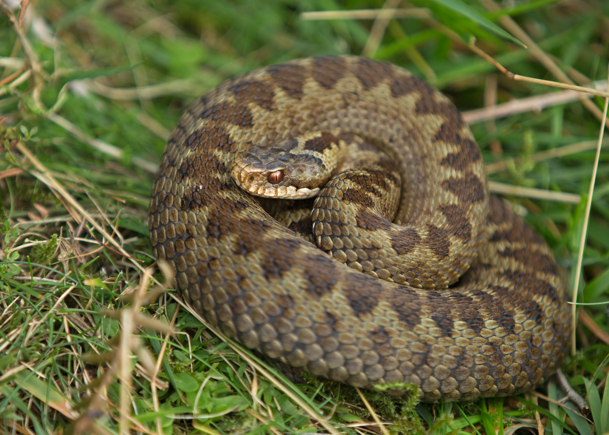 Adder (or Common Viper) - a more typically-marked female