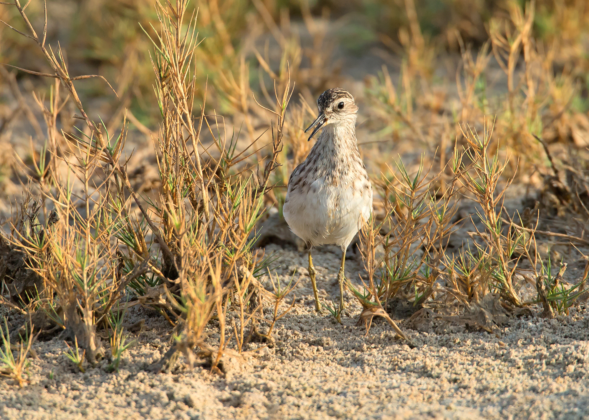 Long-toed Stint, Khawr ad Dahariz, Oman, November 2014
