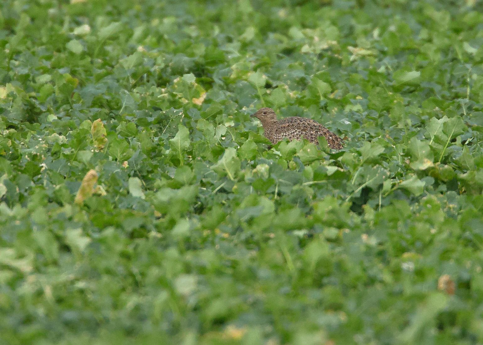 Little Bustard, Auburn Farm, Fraisthorpe, East Yorkshire