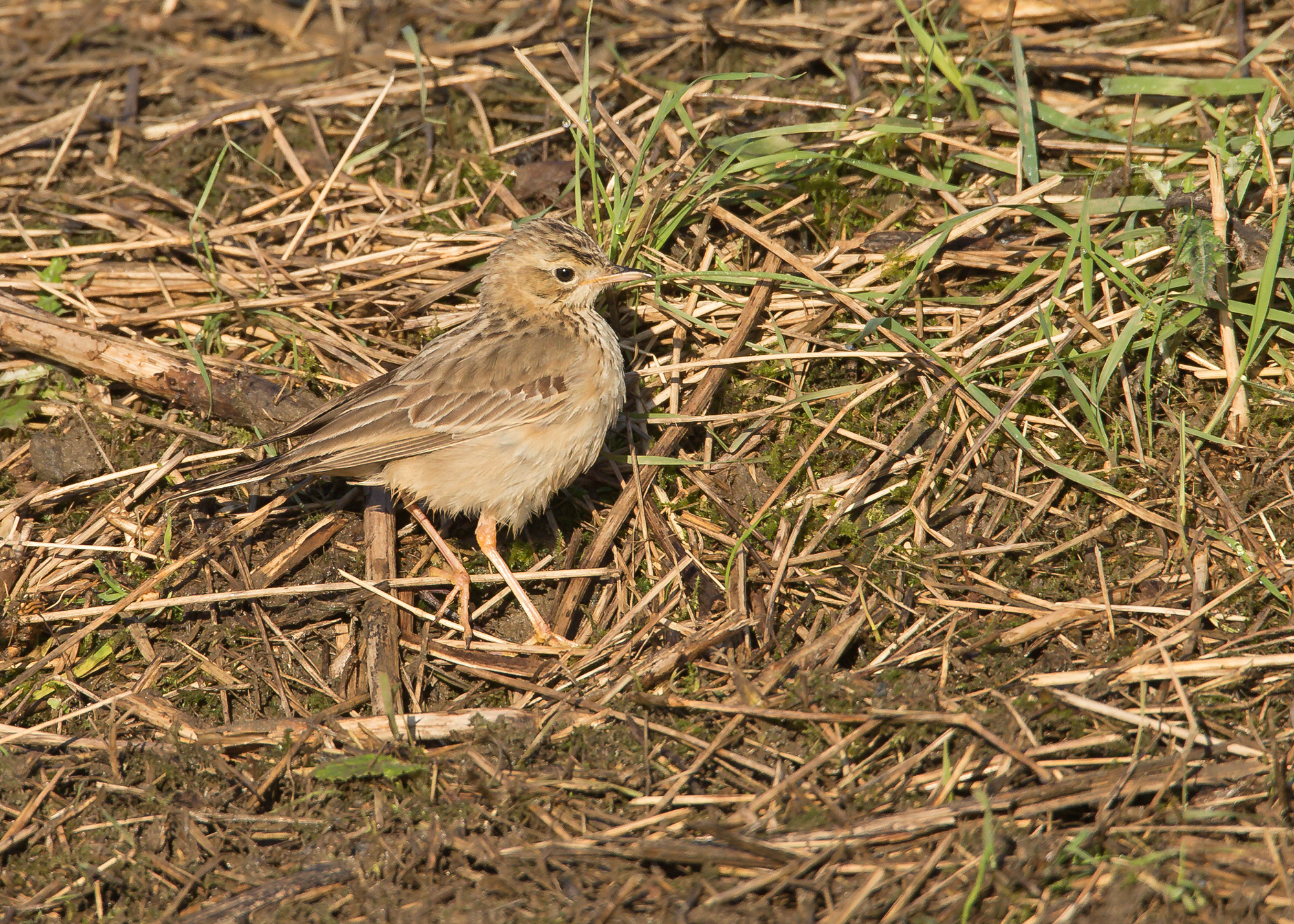 Blyth's Pipit, Wakefield, January 2015