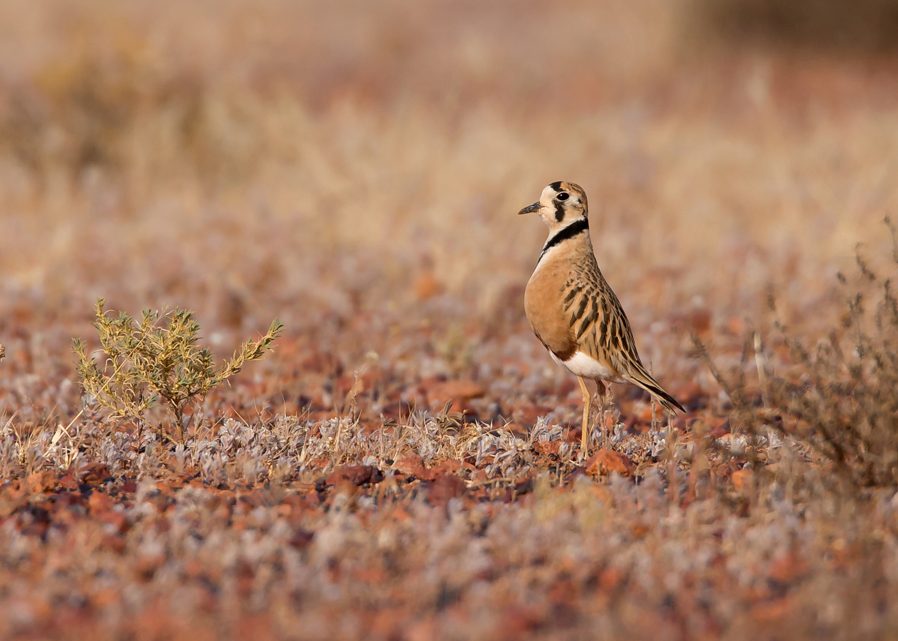 Inland Dotterel, Erldunda NT - one of the most wanted birds of Australia's vast outback