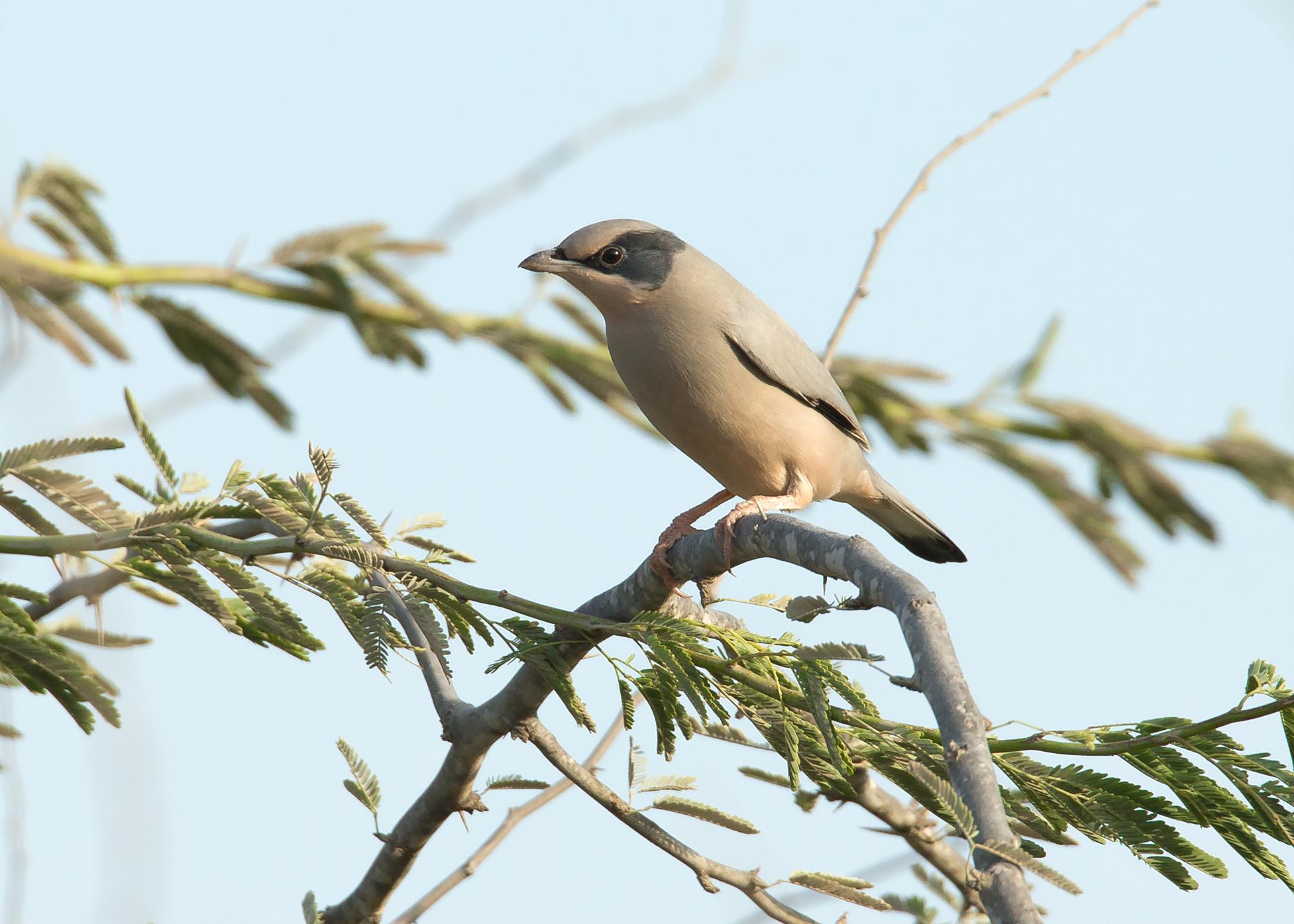 THE bird everyone wants to see - Grey Hypocolius, Jasra District, Bahrain November 2014