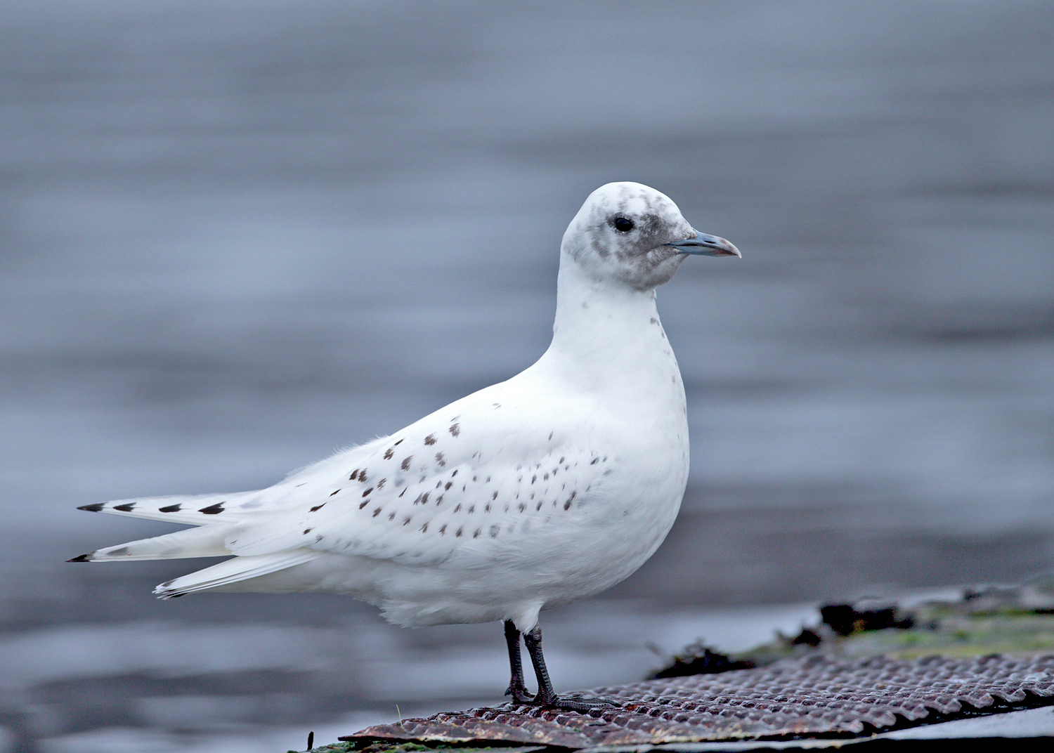 Ivory Gull, Ardmair, 20 January 2015