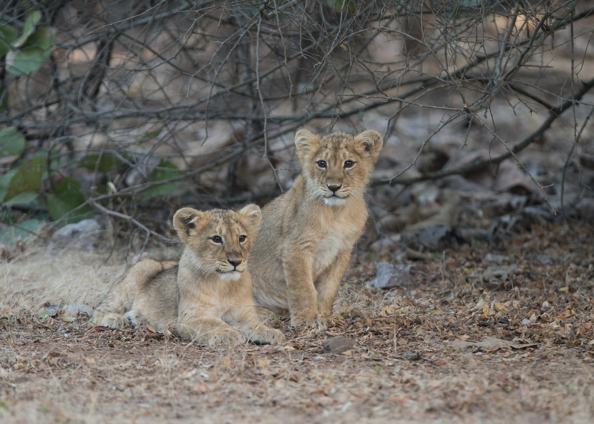 Asiatic Lion cubs, Gir Forest NP, January 2015.