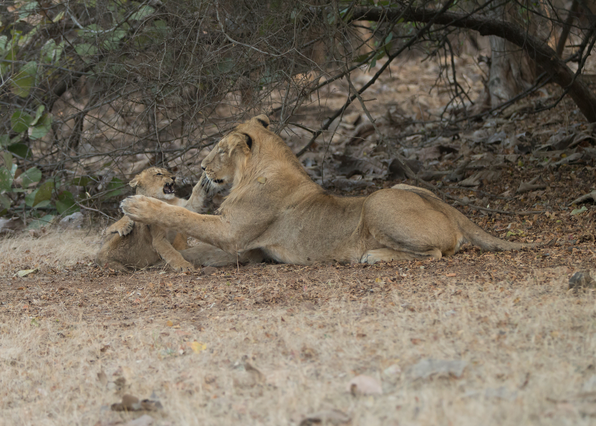 1. AN6V4415-Asiatic-Lion_edited-1.jpg
