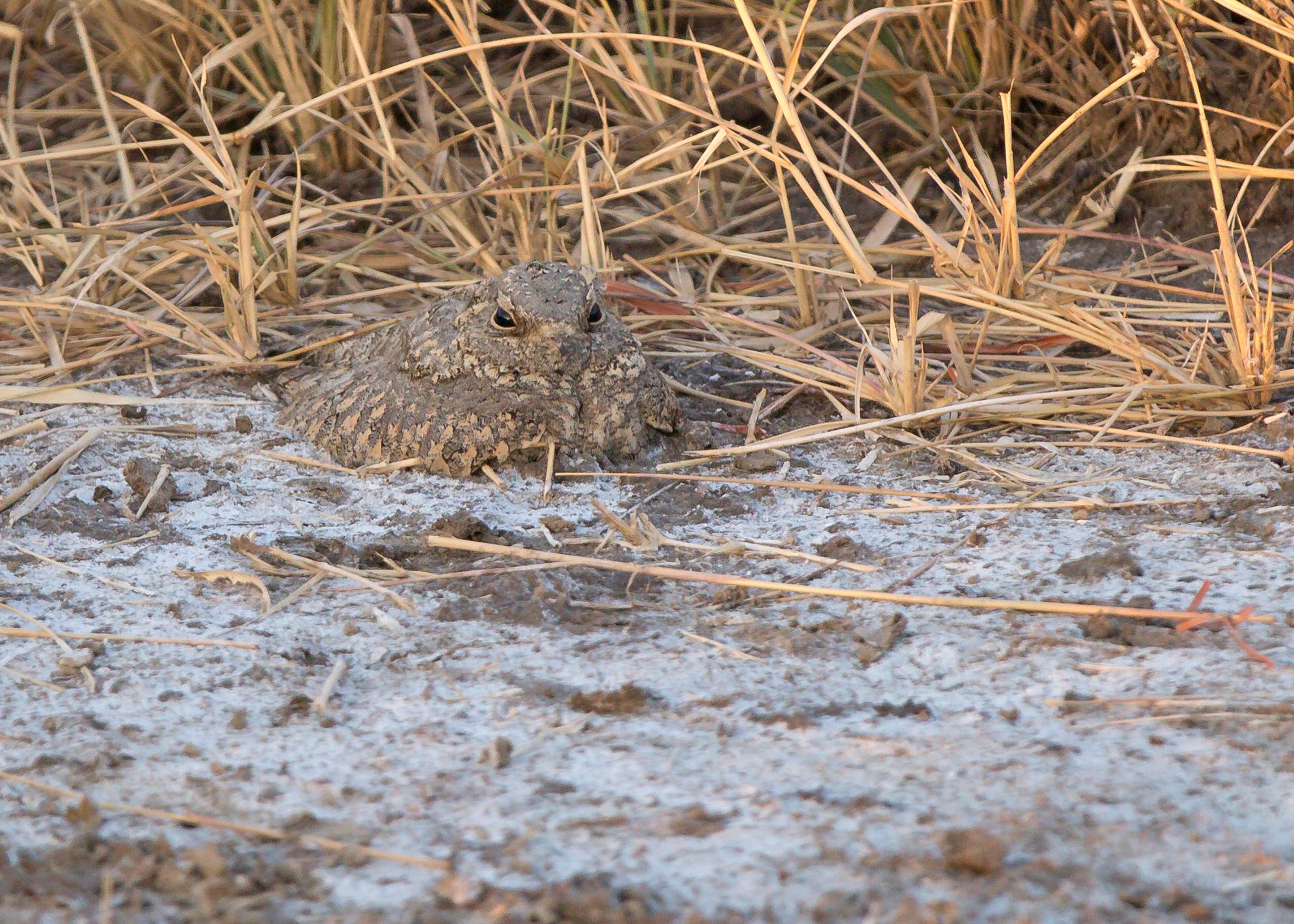 Sykes's Nightjar, Blackbuck National Park, Velavadar