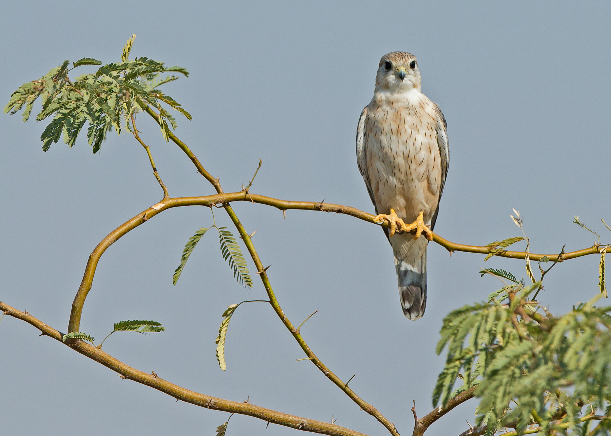 'Steppe' Merlin, Little Rann of Kutch