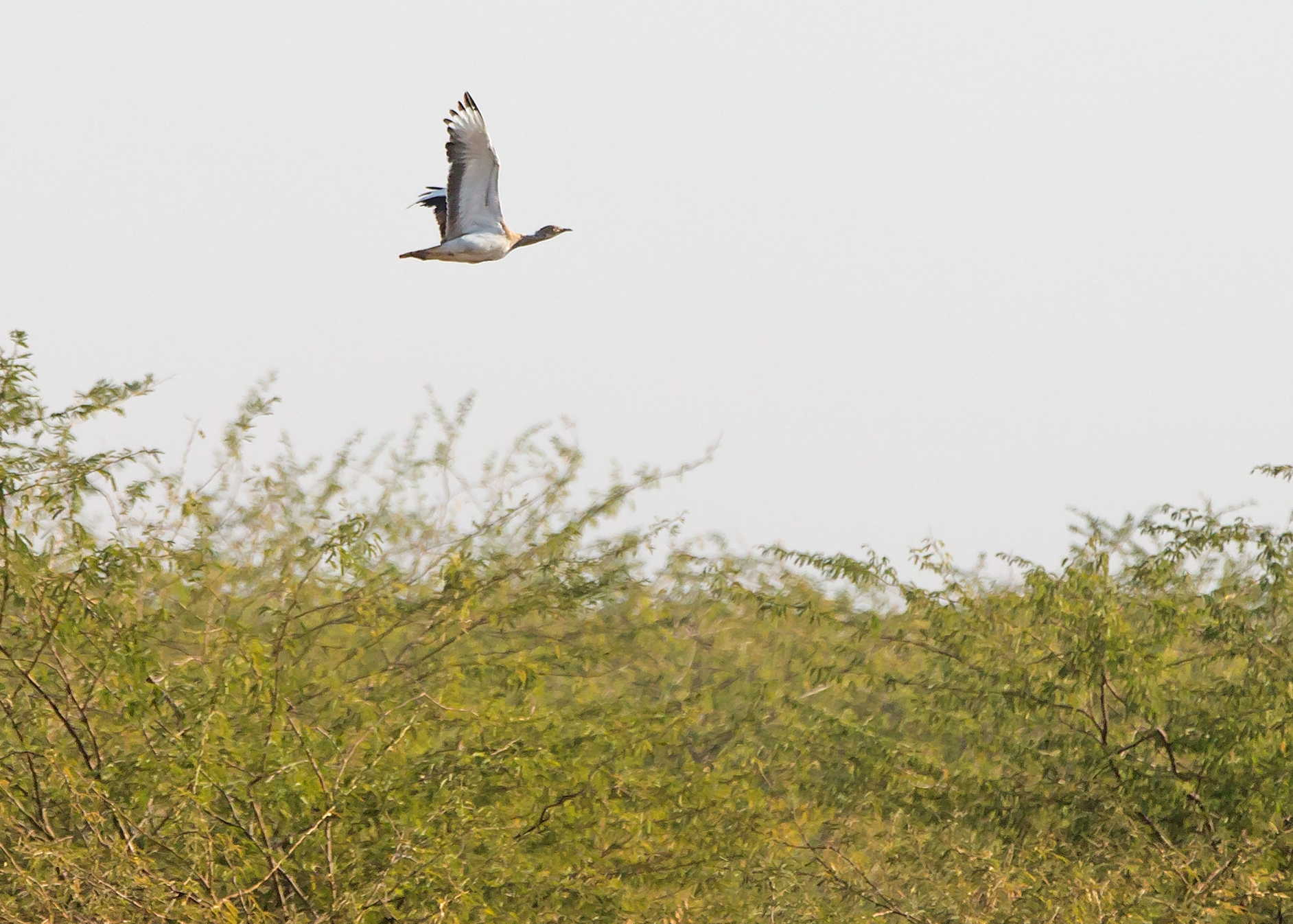 MacQueen's Bustard, Little Rann of Kutch.
