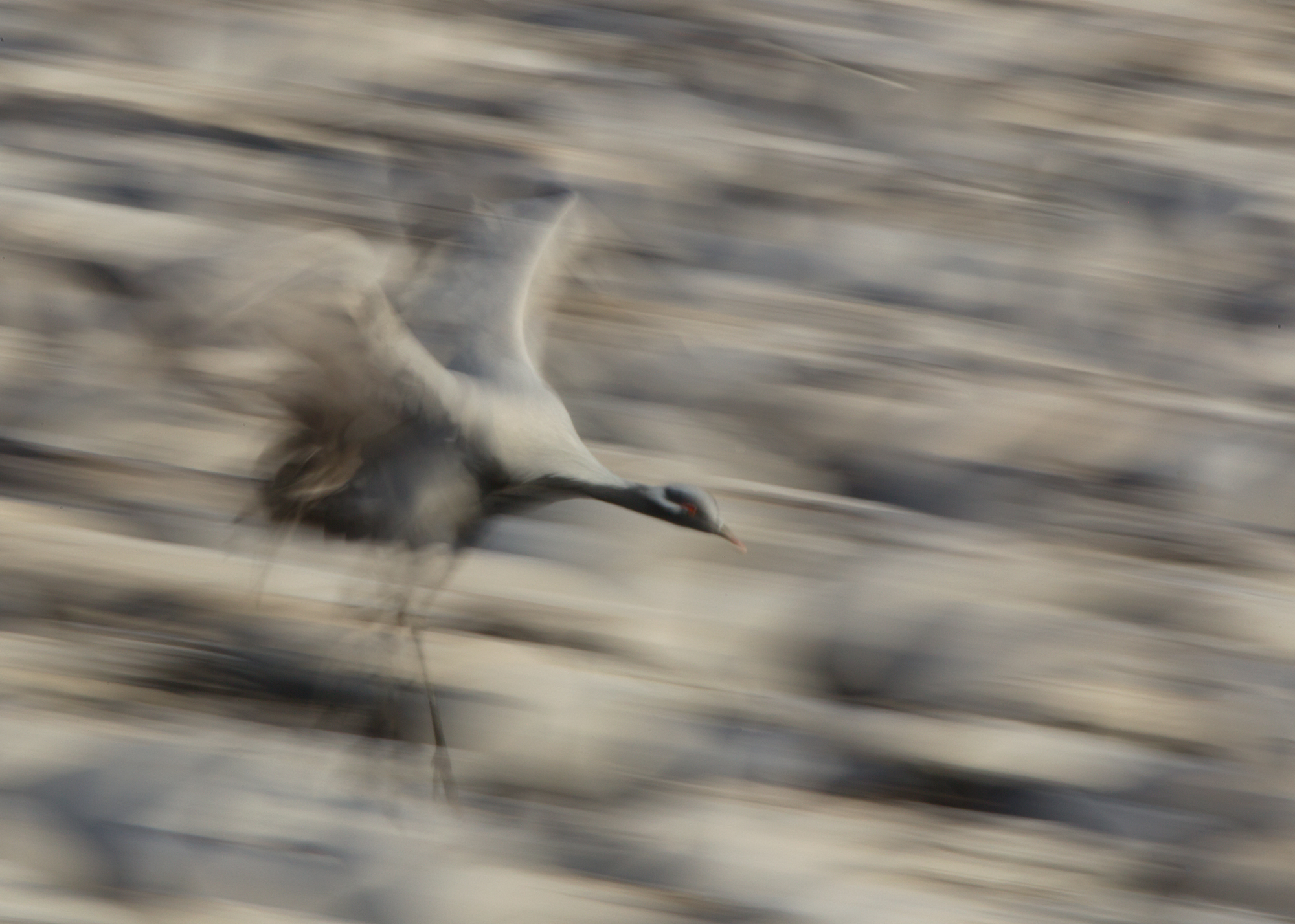 A Demoiselle Crane comes in to land in a packed feeding compound at Khichan.