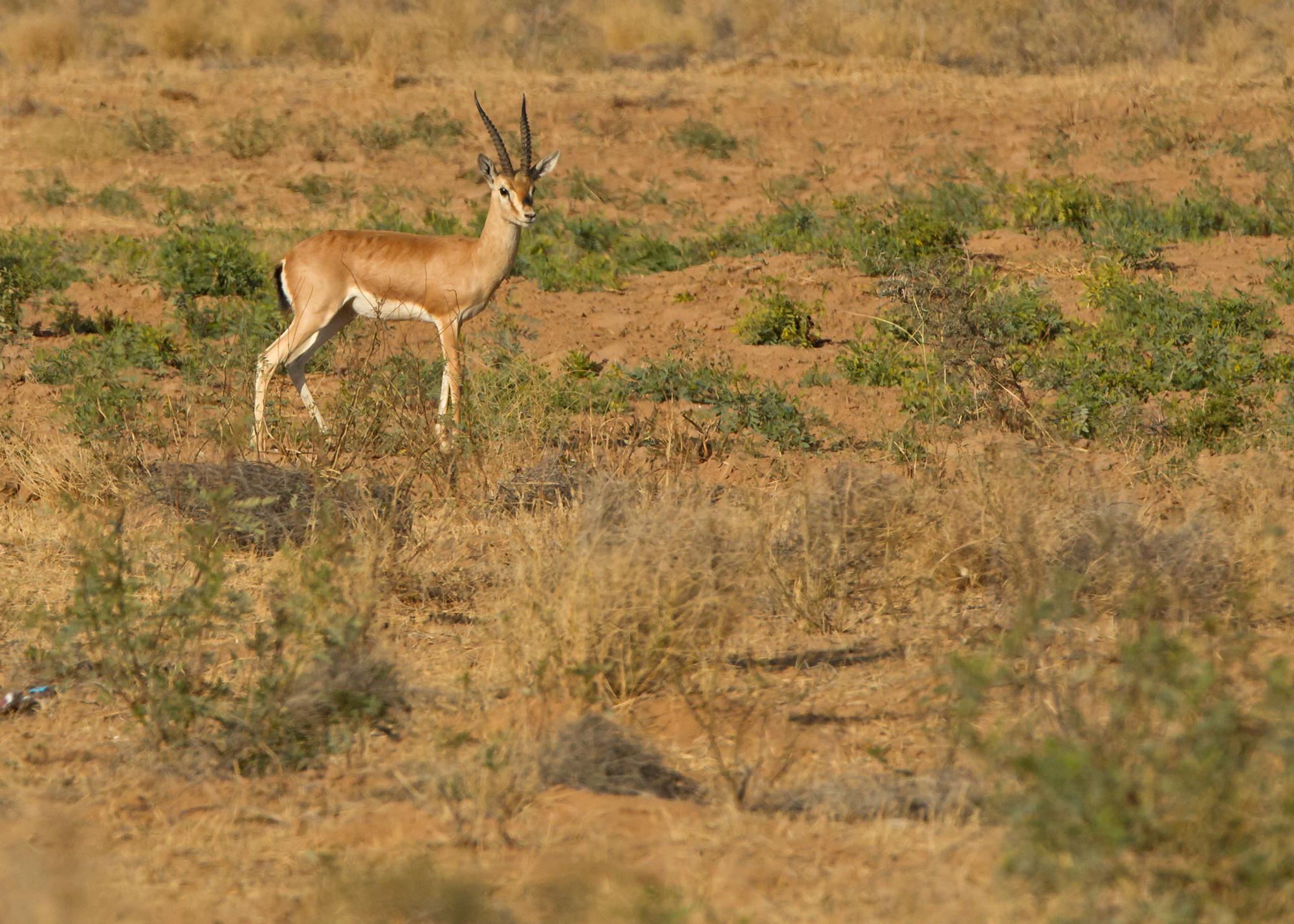 Chinkara (or Indian Gazelle), near Phalodi, Rajasthan