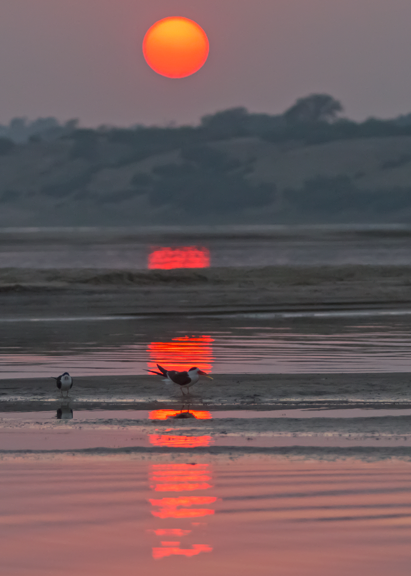 Indian Skimmer sunset, Chambal River