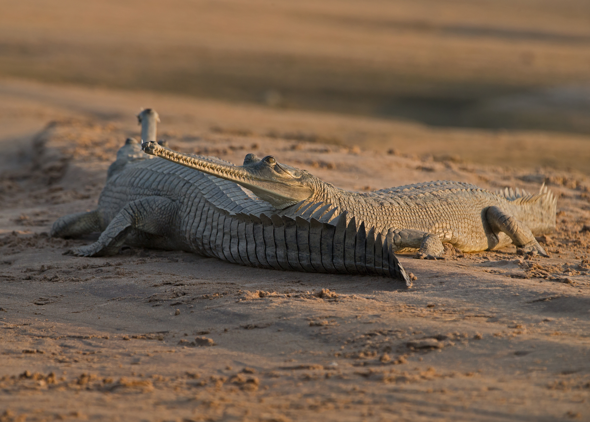 Gharials enjoying late afternoon sunshine, Chambal River