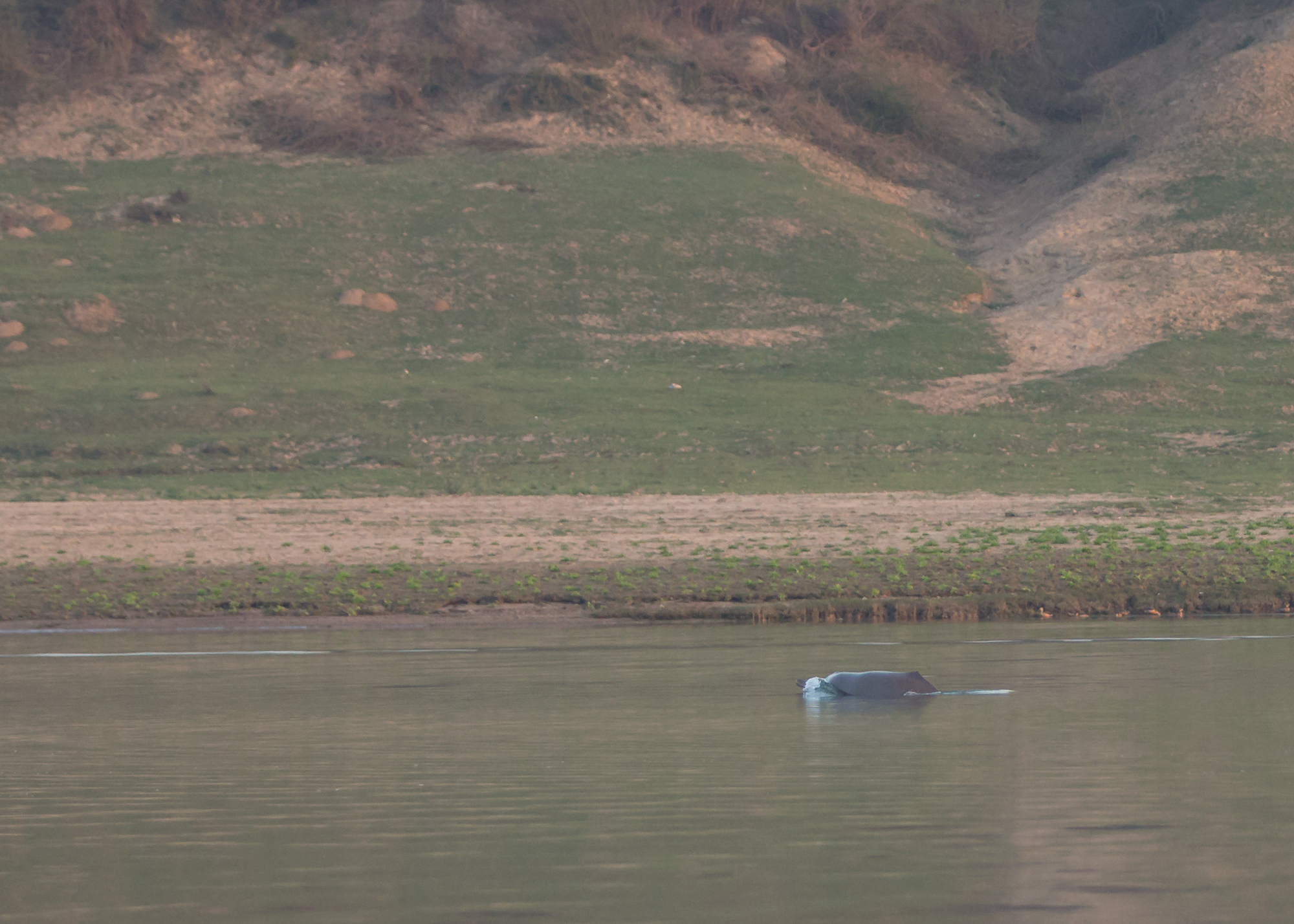 Another brief glimpse of a Ganges River Dolphin, Chambal River