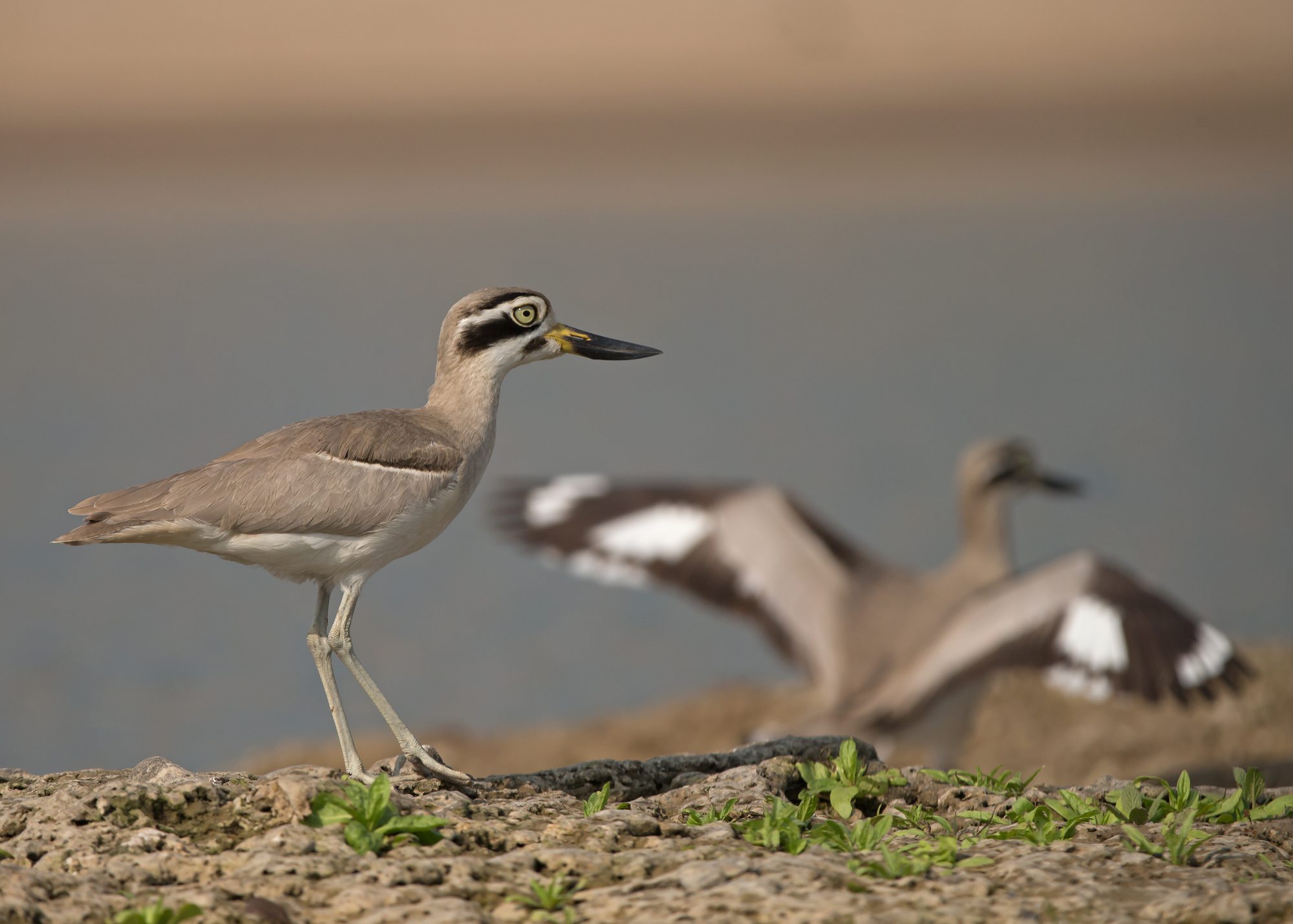 Great Thick-Knees, Chambal River
