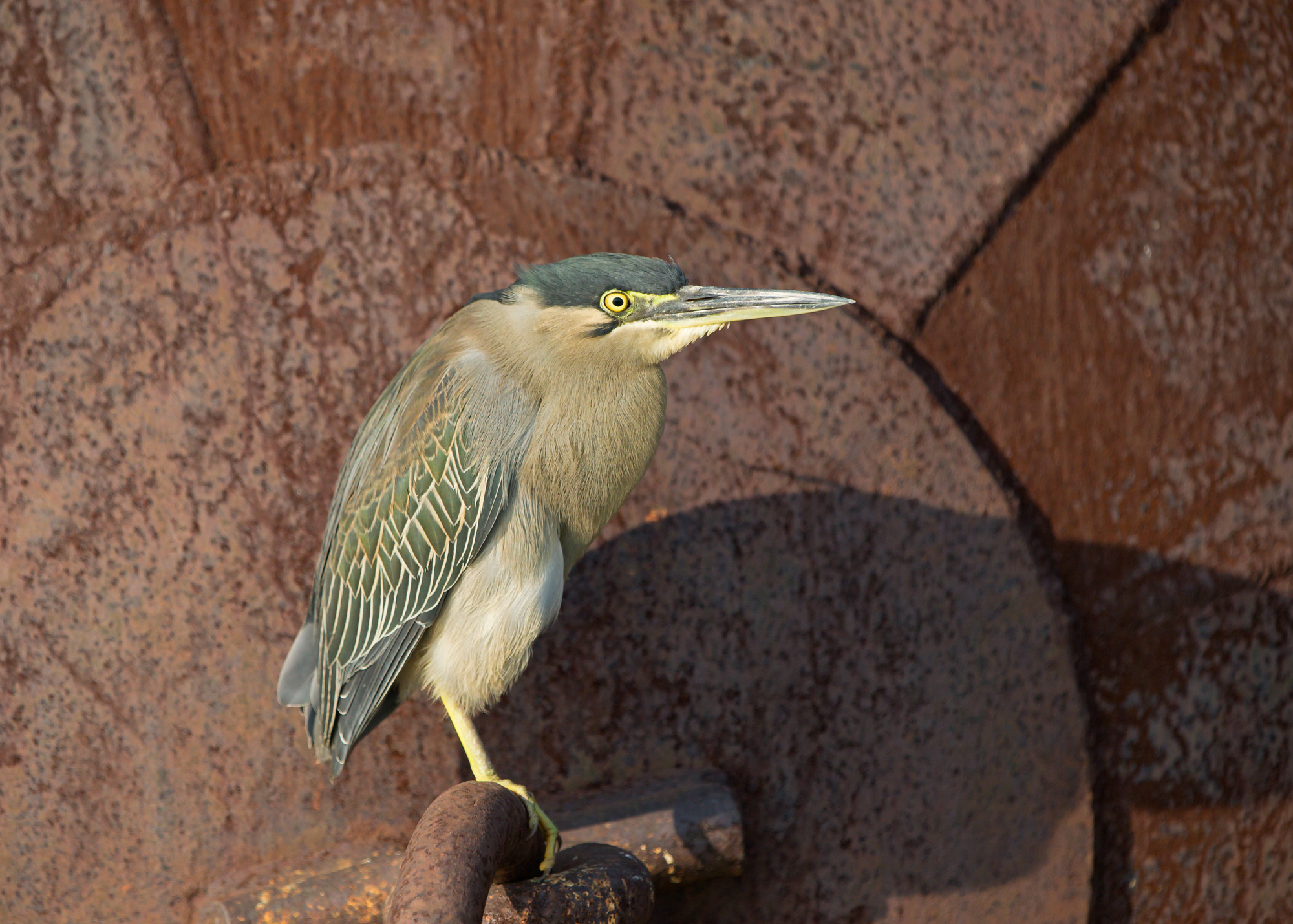 Striated Heron on an old pontoon, Chambal River