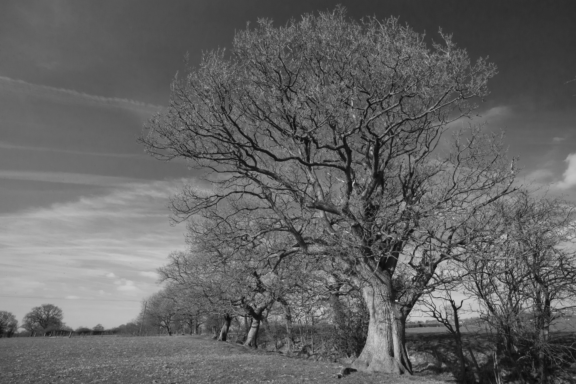 A line of old oak trees in the Ribble Valley near Ribchester.