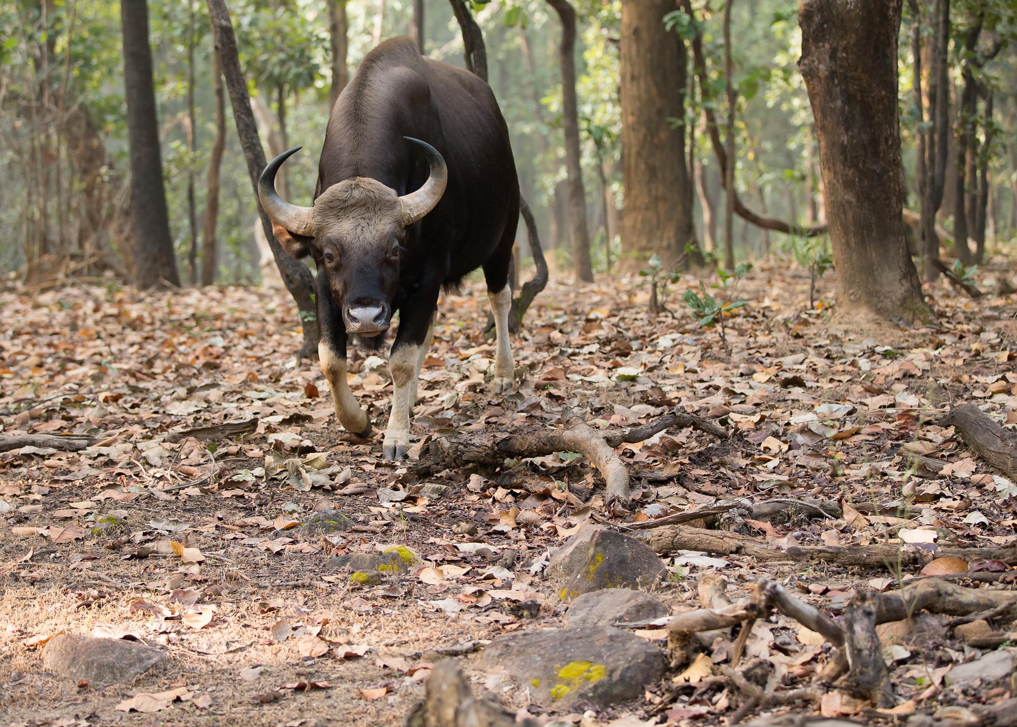 Back up! An impressive Gaur in Bandhavgarh's Tala Zone.