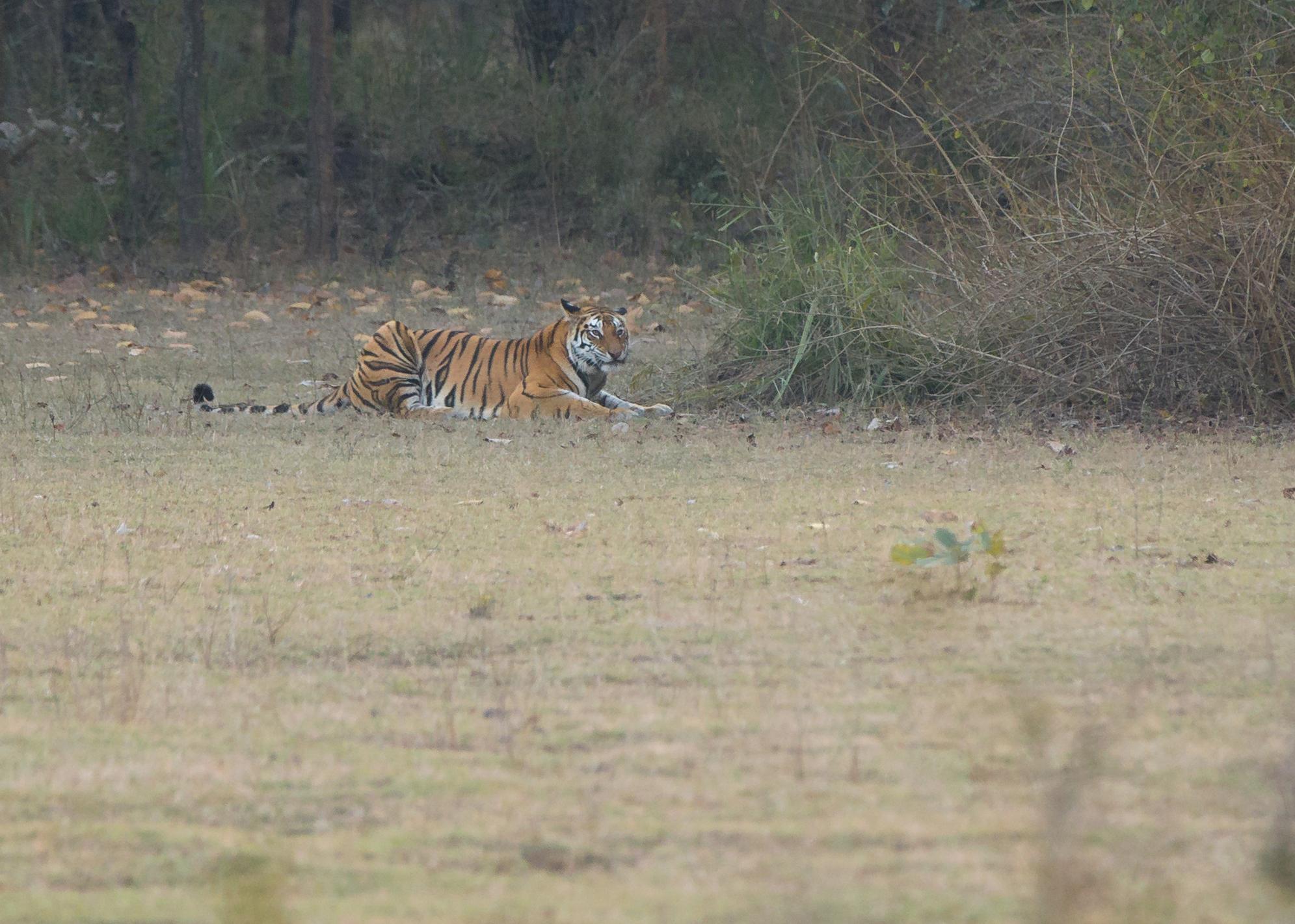 Bengal Tiger, Bandhavgarh, Maghdi Zone