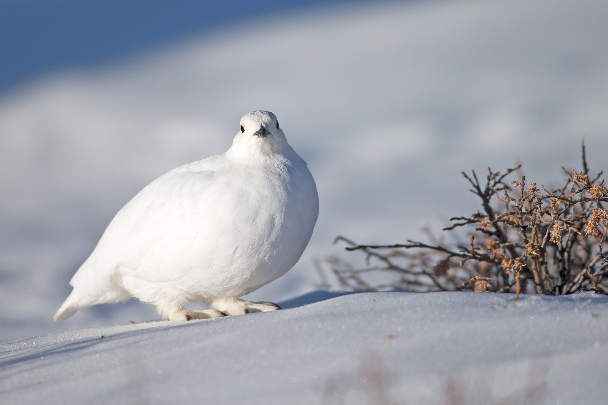 AN6V7441-White-tailed-Ptarmigan.jpg