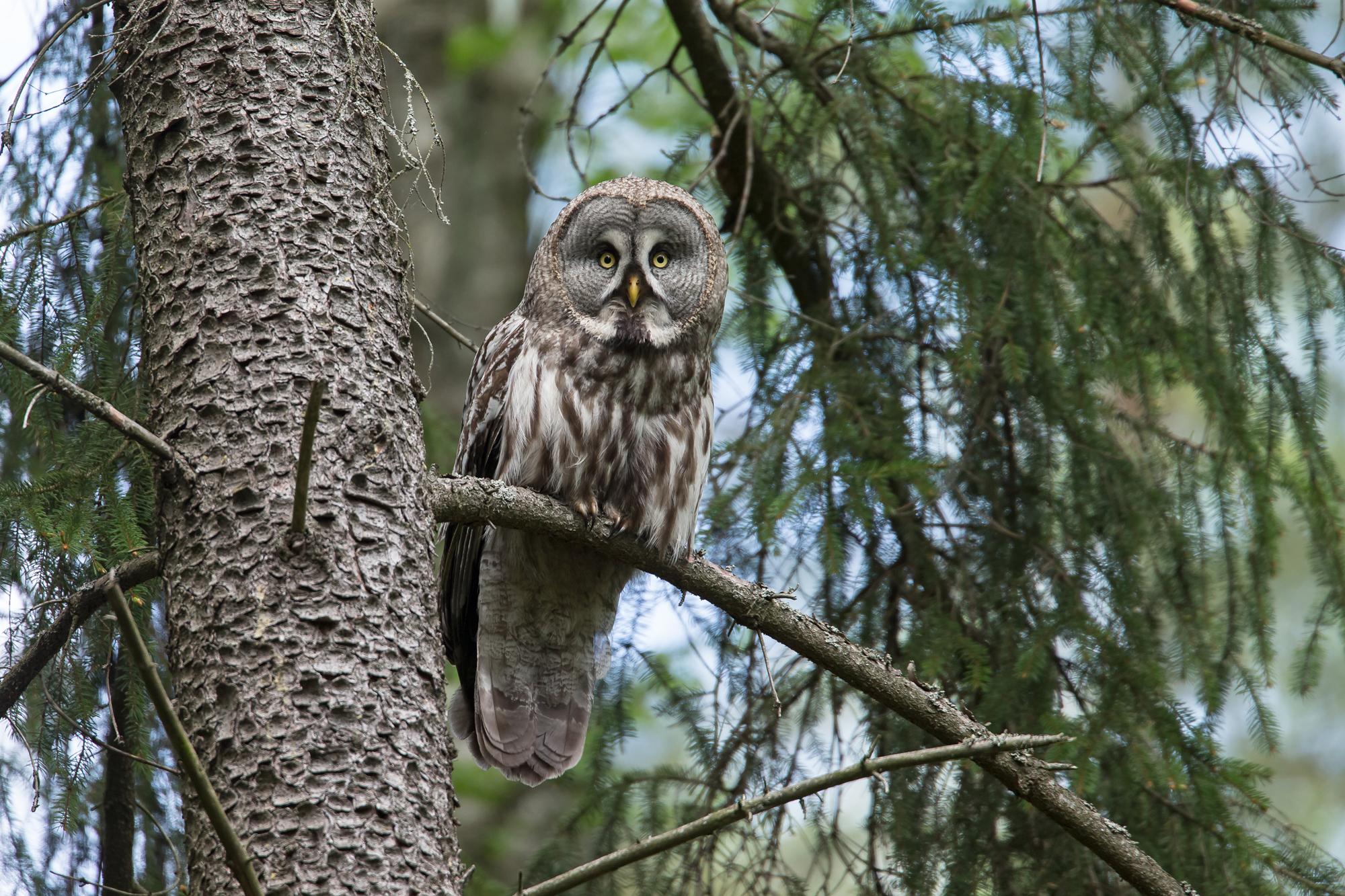 Great Grey Owl, Vygonoshansky Reserve, Belarus May 2015.