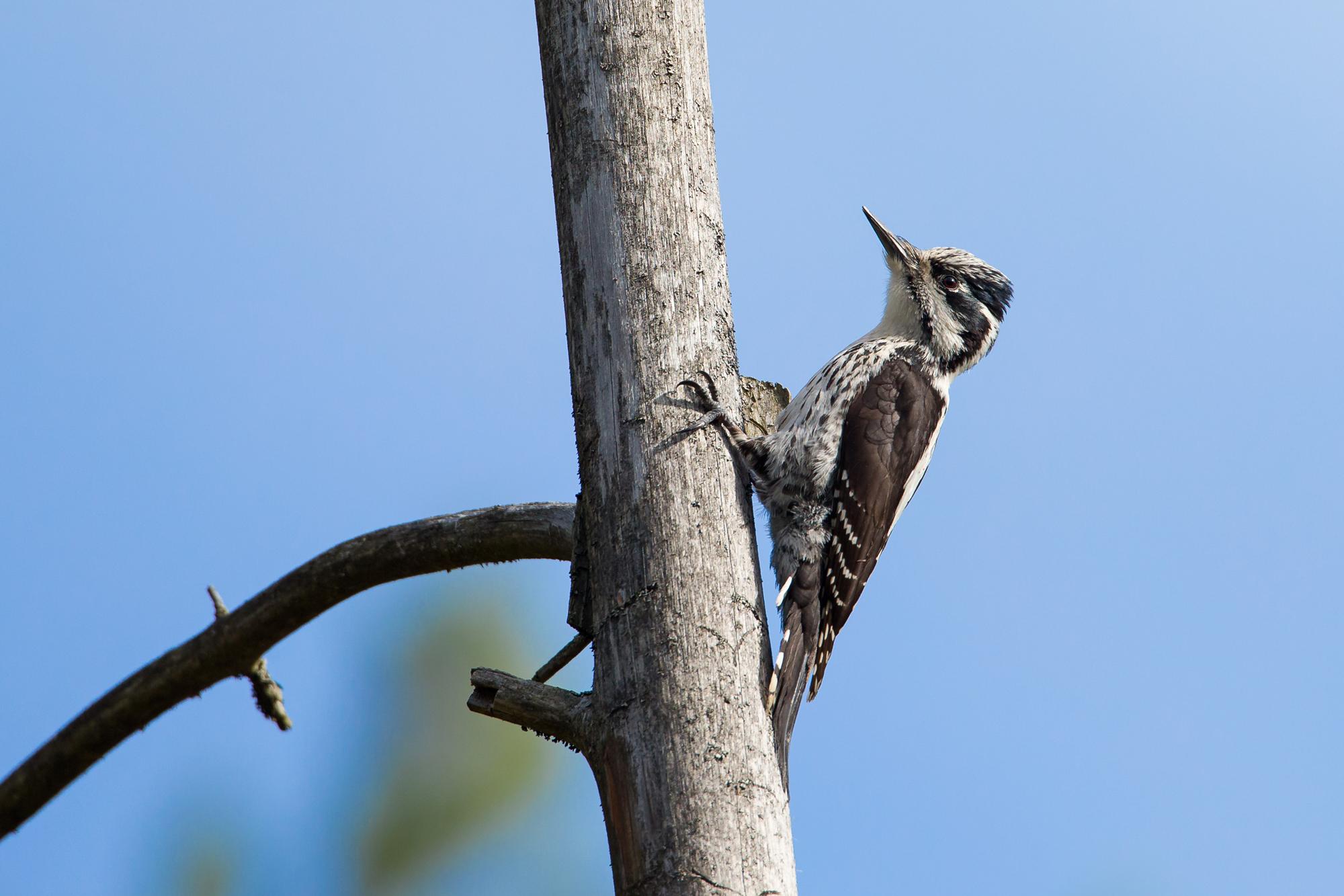 Eurasian Three-toed Woodpecker, Krasny Bor