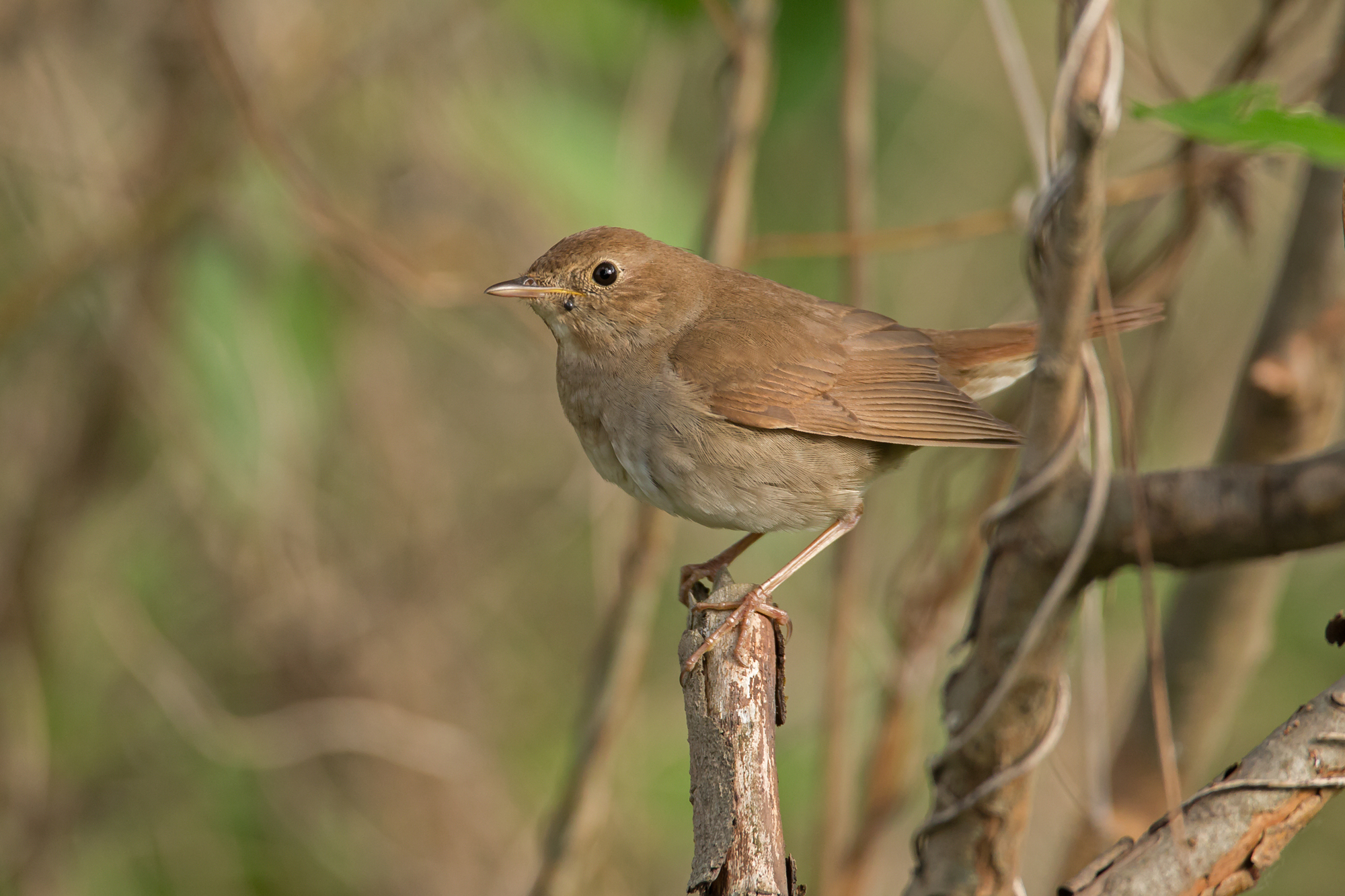 Thrush Nightingale, Kremnoe.