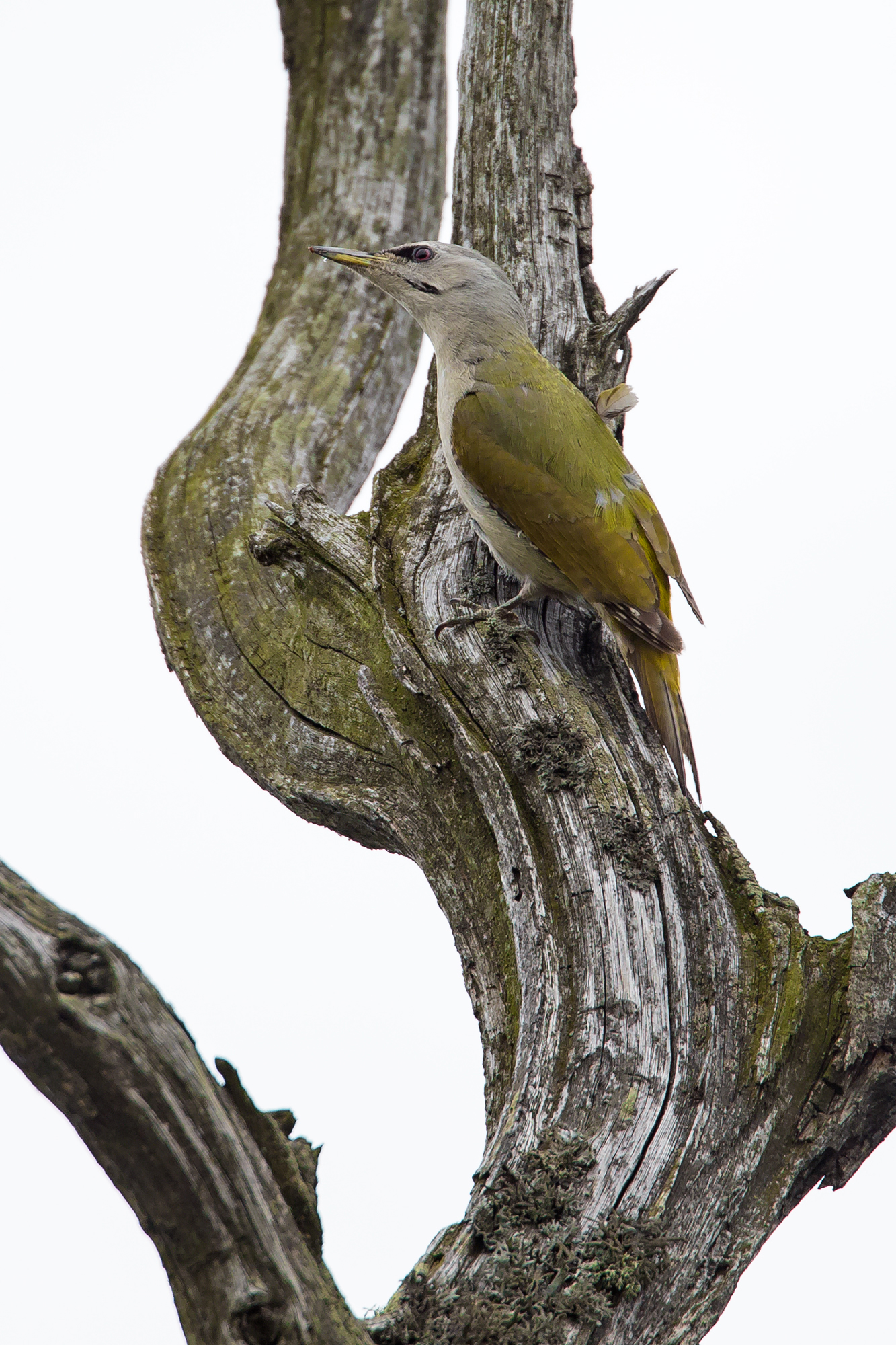 Grey-headed Woodpecker, near Turov.