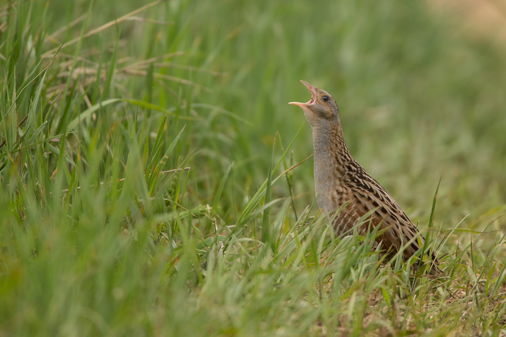 Corn Crake, Pripyatsky National Park.