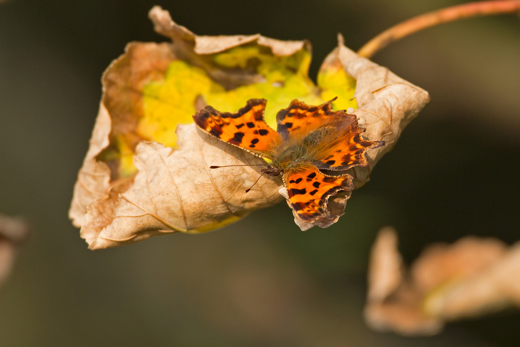 Comma on autumn Sycamore leaf.