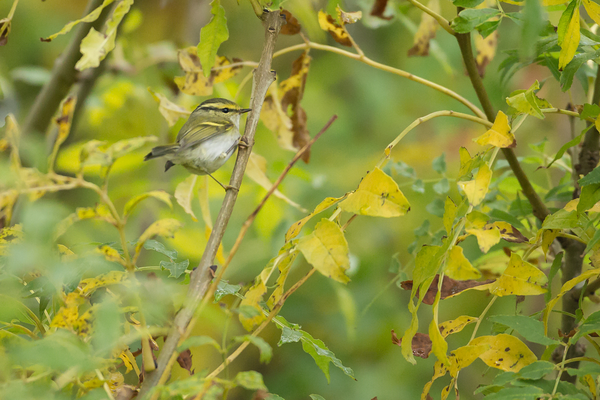 Pallas's Warbler in autumn colours, Kilnsea