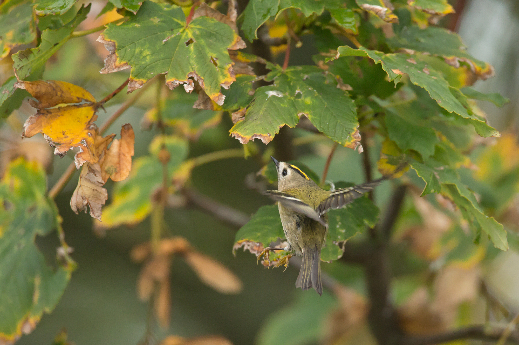 Goldcrest = another contender for bird of the day! Some within touching distance.