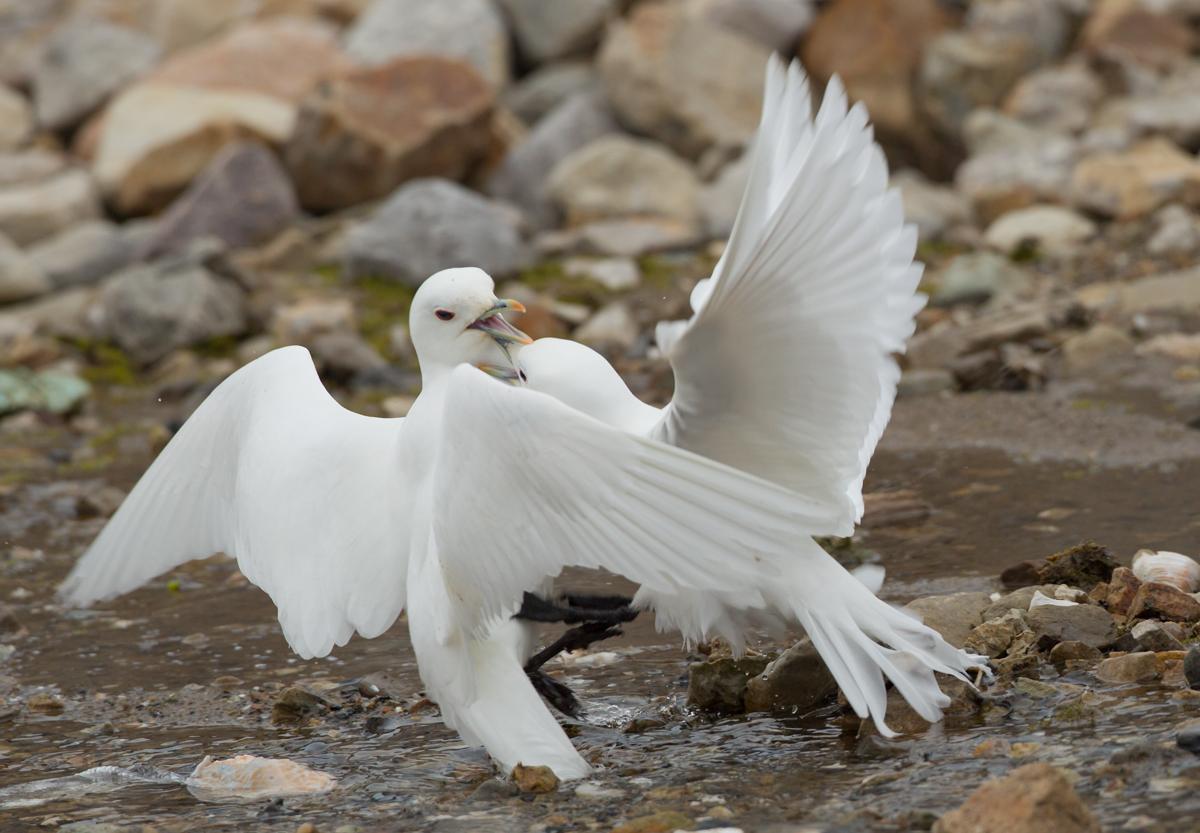 Ivory Gulls, Ny Ålesund, Svalbard.