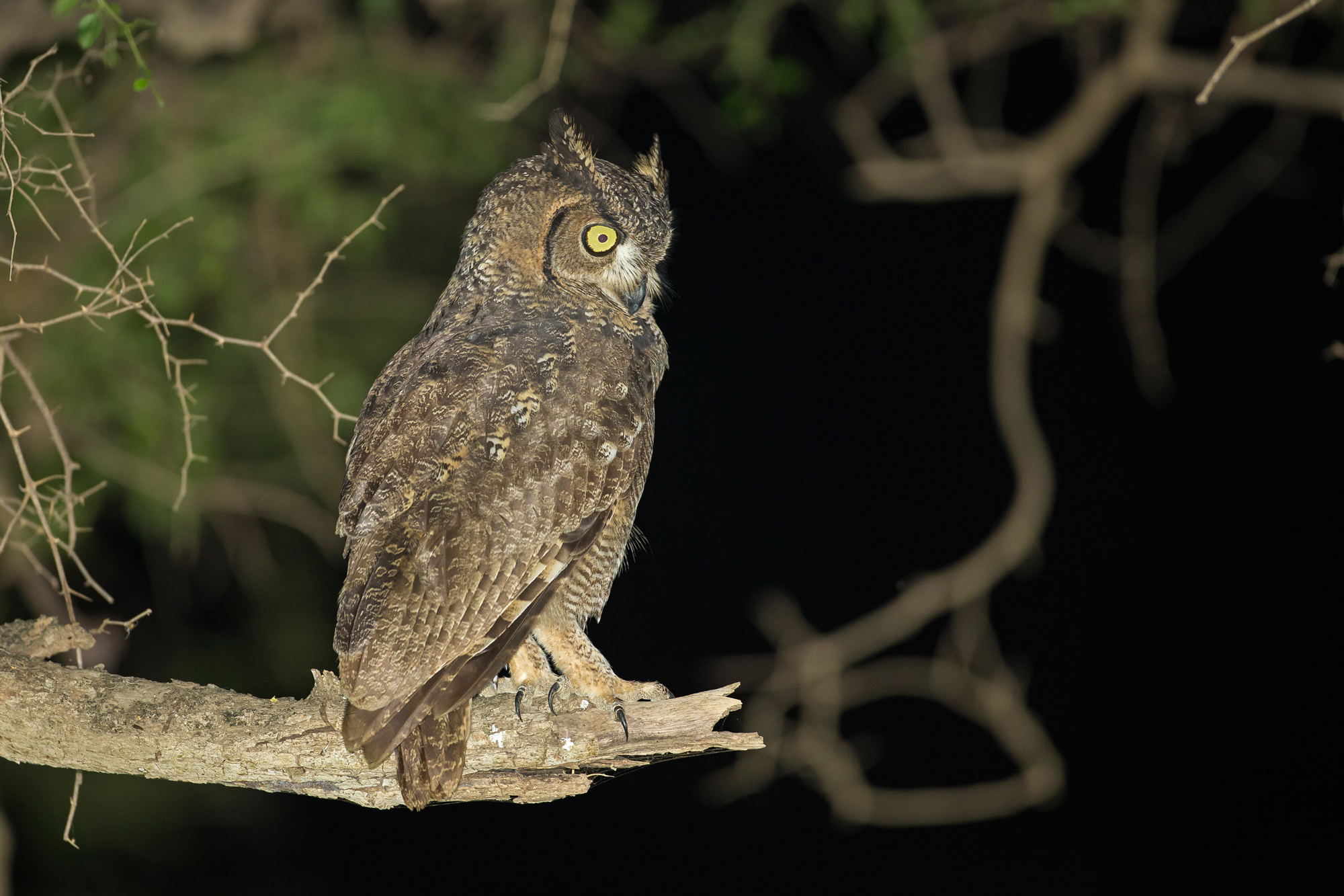 Arabian Spotted Eagle-Owl, Dhofar Mountains, Oman.