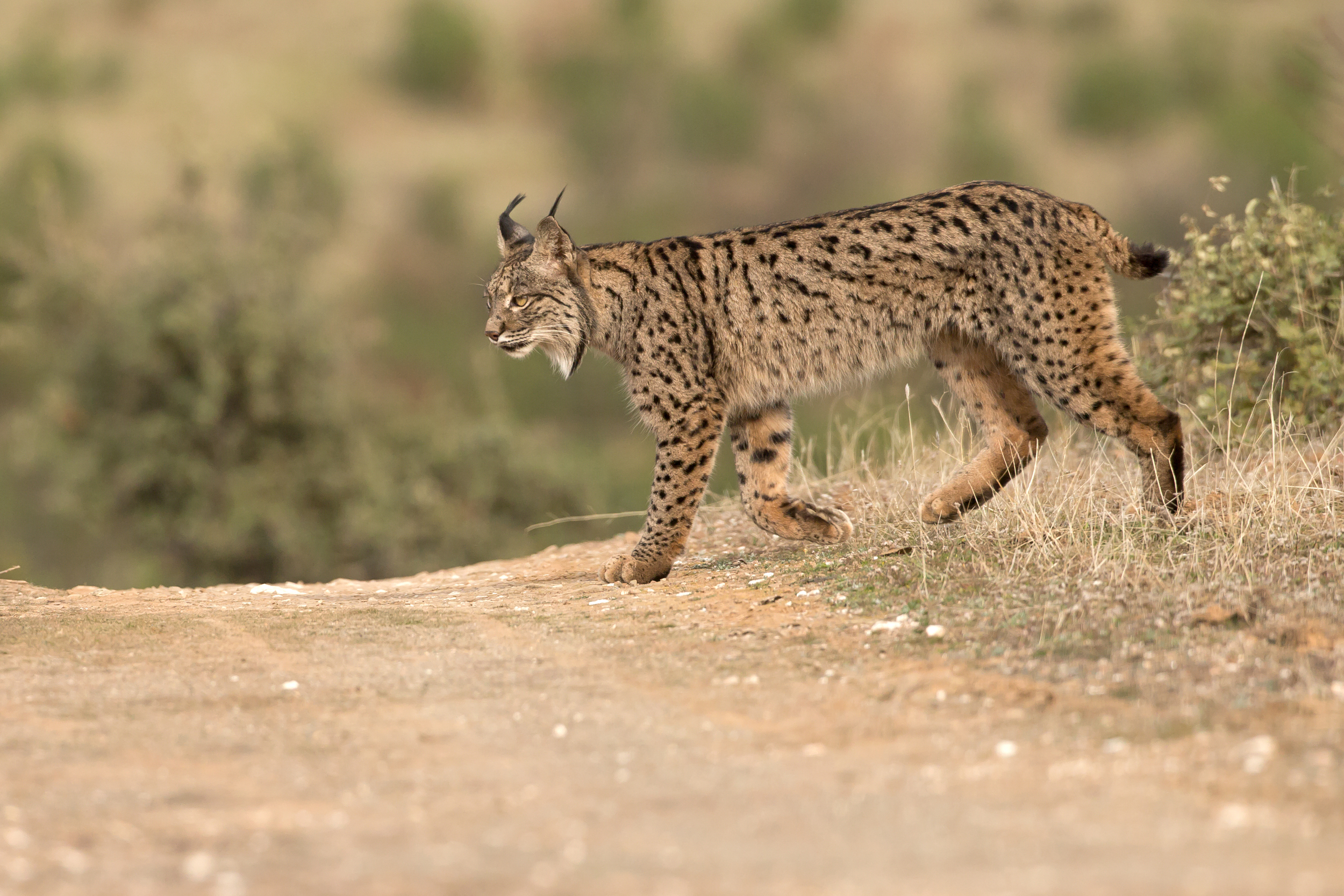 Iberian Lynxes are truly magnificent animals!