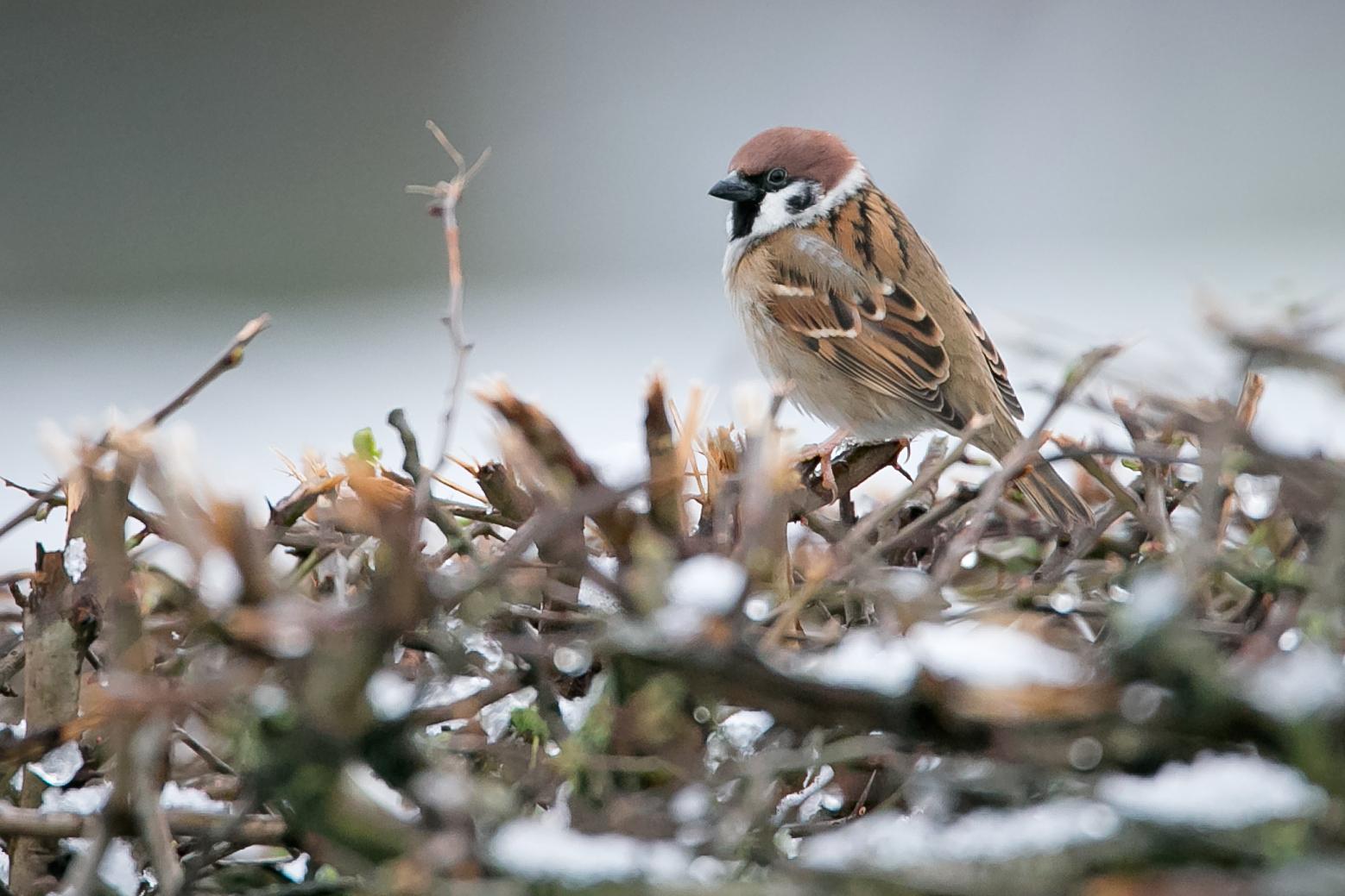 Eurasian Tree Sparrow, Ribchester.