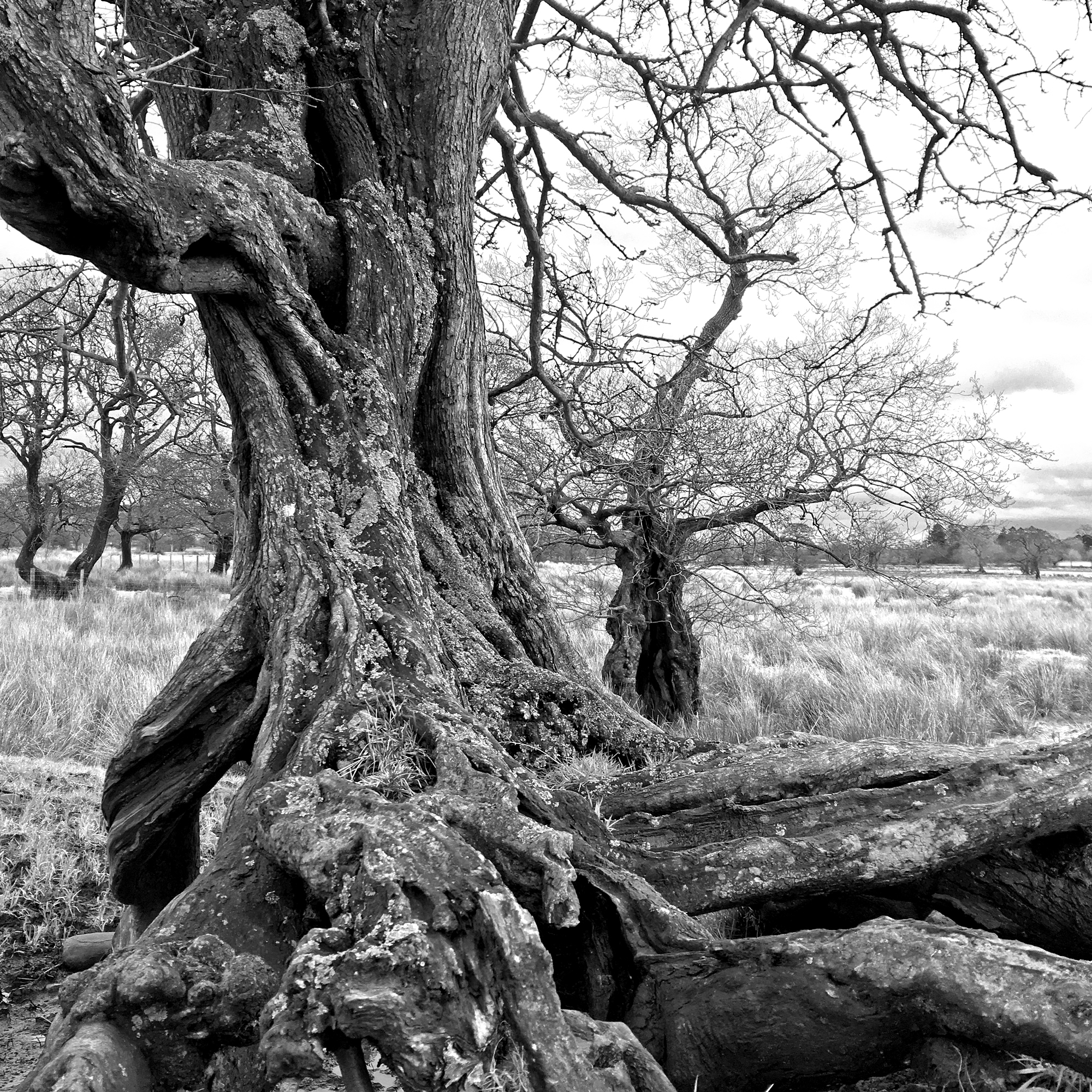 Ancient Hawthorn with an Alder in the background, Chipping Moss.