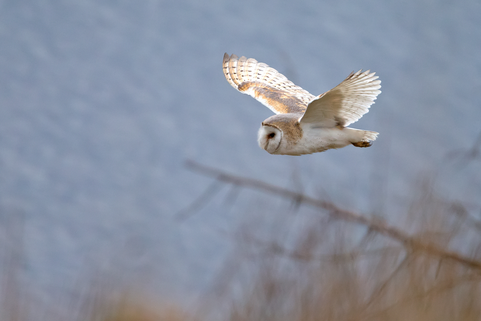 Barn Owl number four this week!