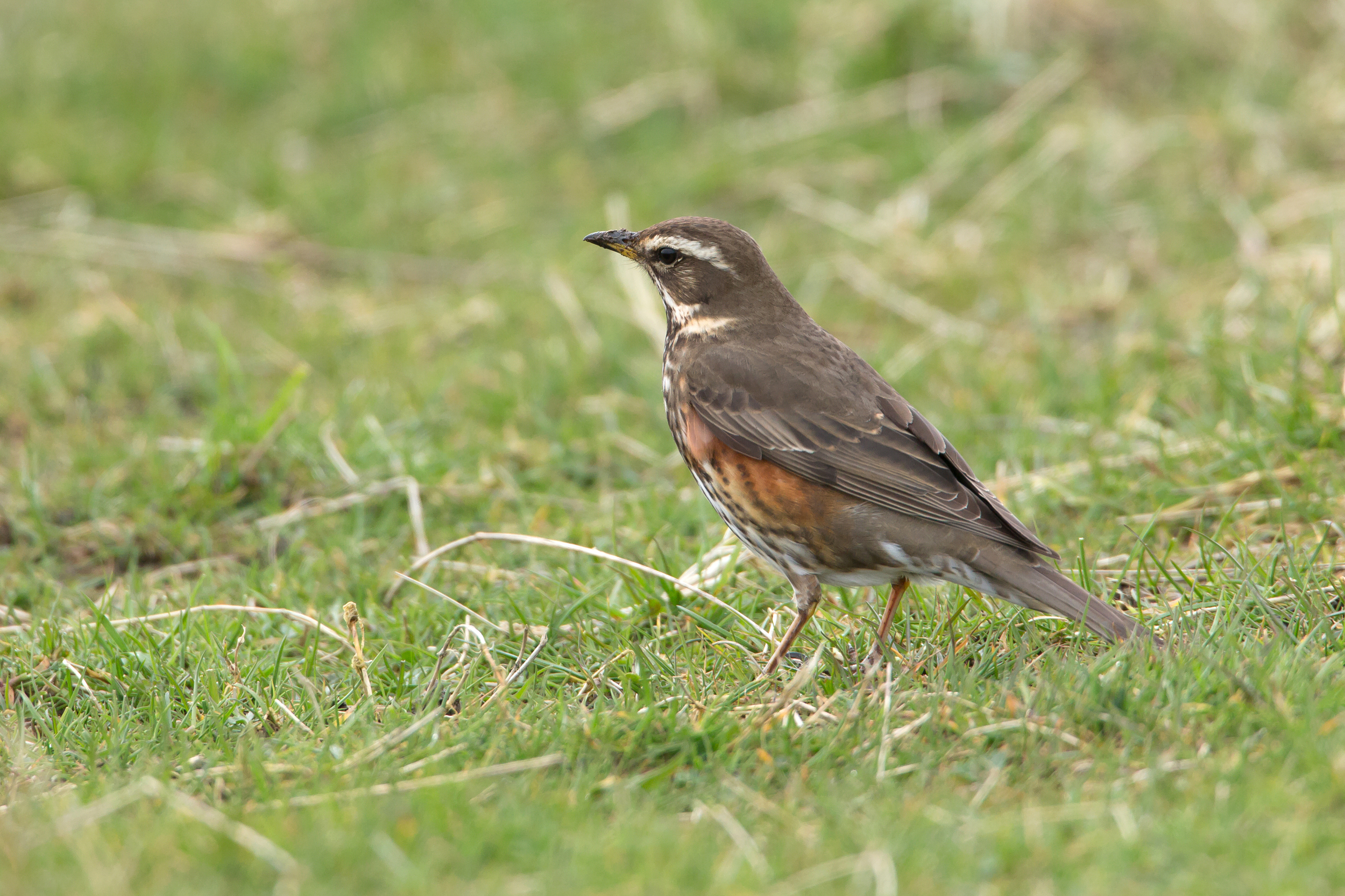 Redwing (looking like a continental bird - crown same tone as nape and upperparts, whitish supercilium. I was expecting those on North Uist to be Icelandic).