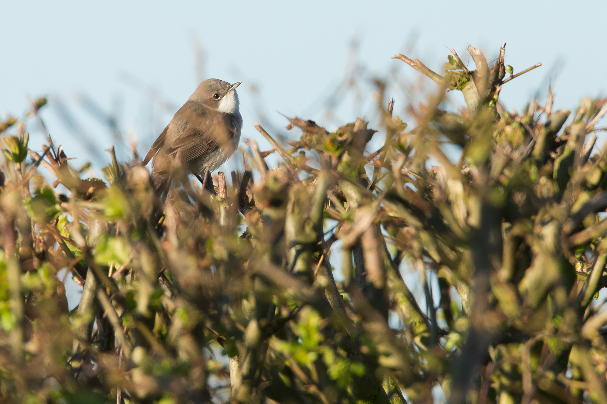 An early Lesser Whitethroat at Alston Wetland