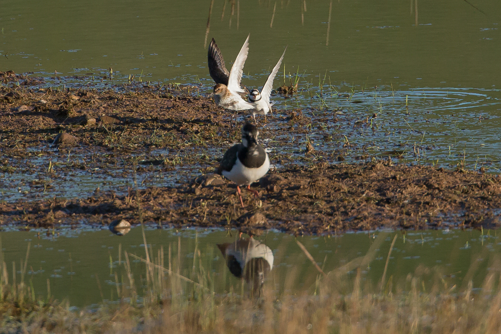 Alston shorebirds. 'Get off my land' said the Little Ringed Plover to the Dunlin.