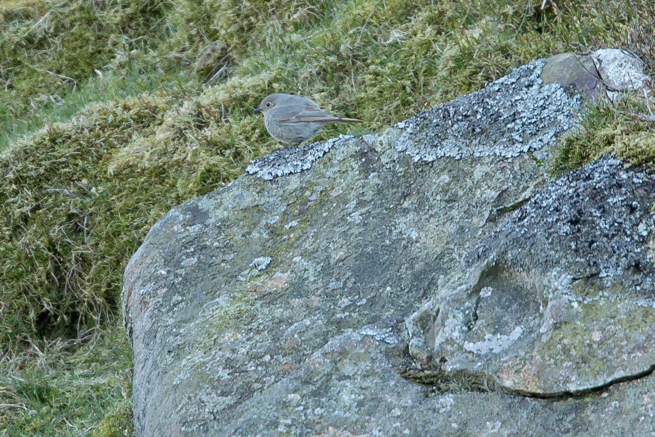 Black Redstart, Pendle Hill.