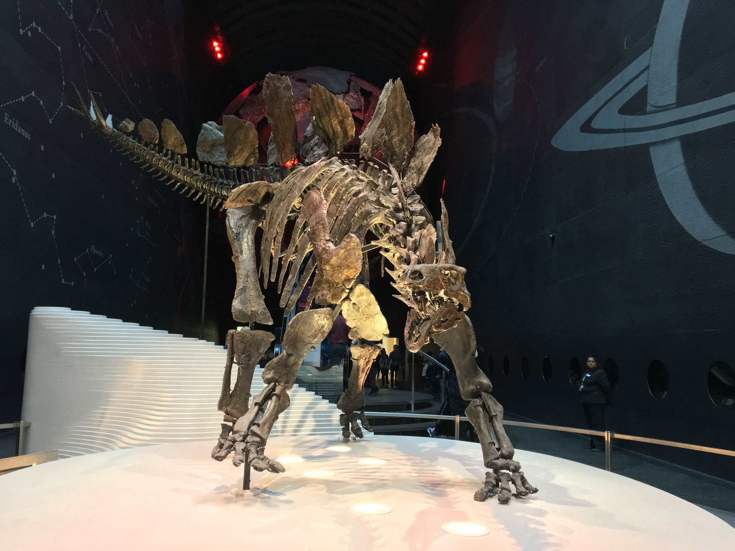 The new Stegosaurus skeleton at the NHM, the majority of which is real rather than a reproduction - spectacular!