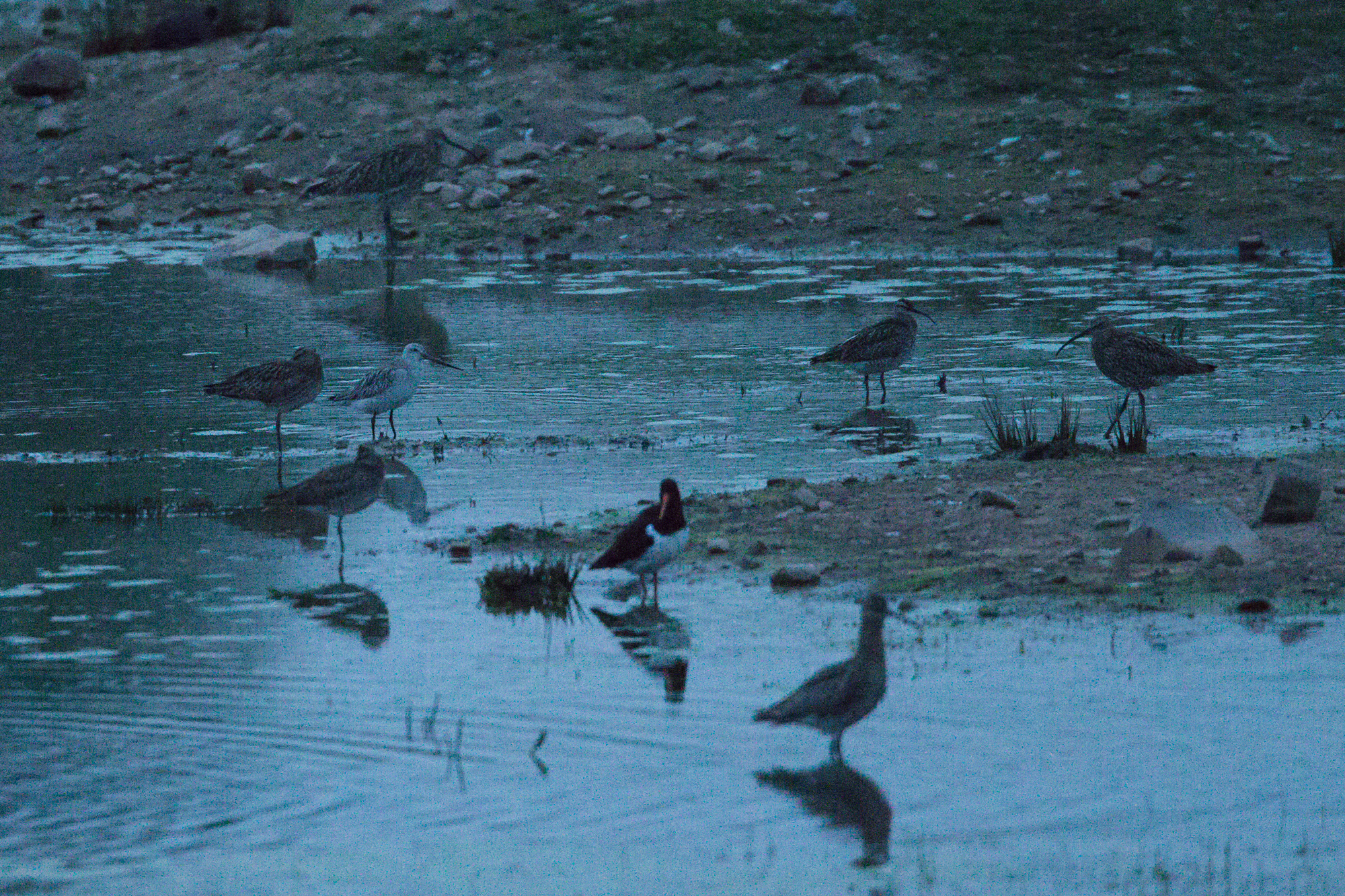 Bar-tailed Godwit, whimbrel, curlew and oystercatcher at Alston Wetland at ISO51200.