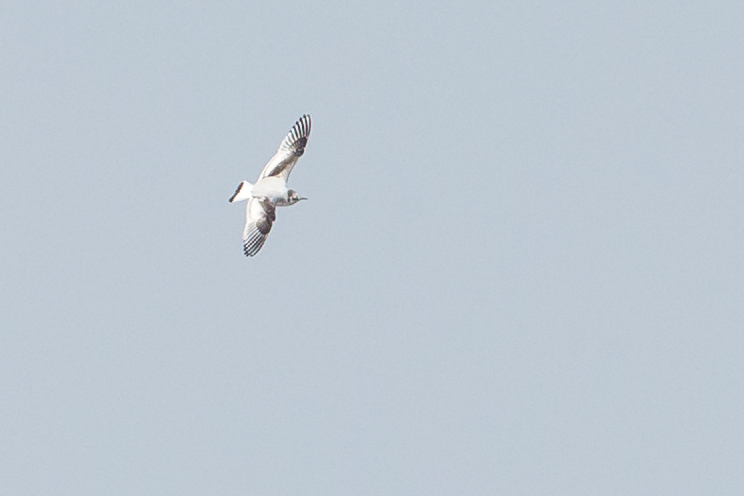 Little Gull (second calendar year), Stocks Reservoir.