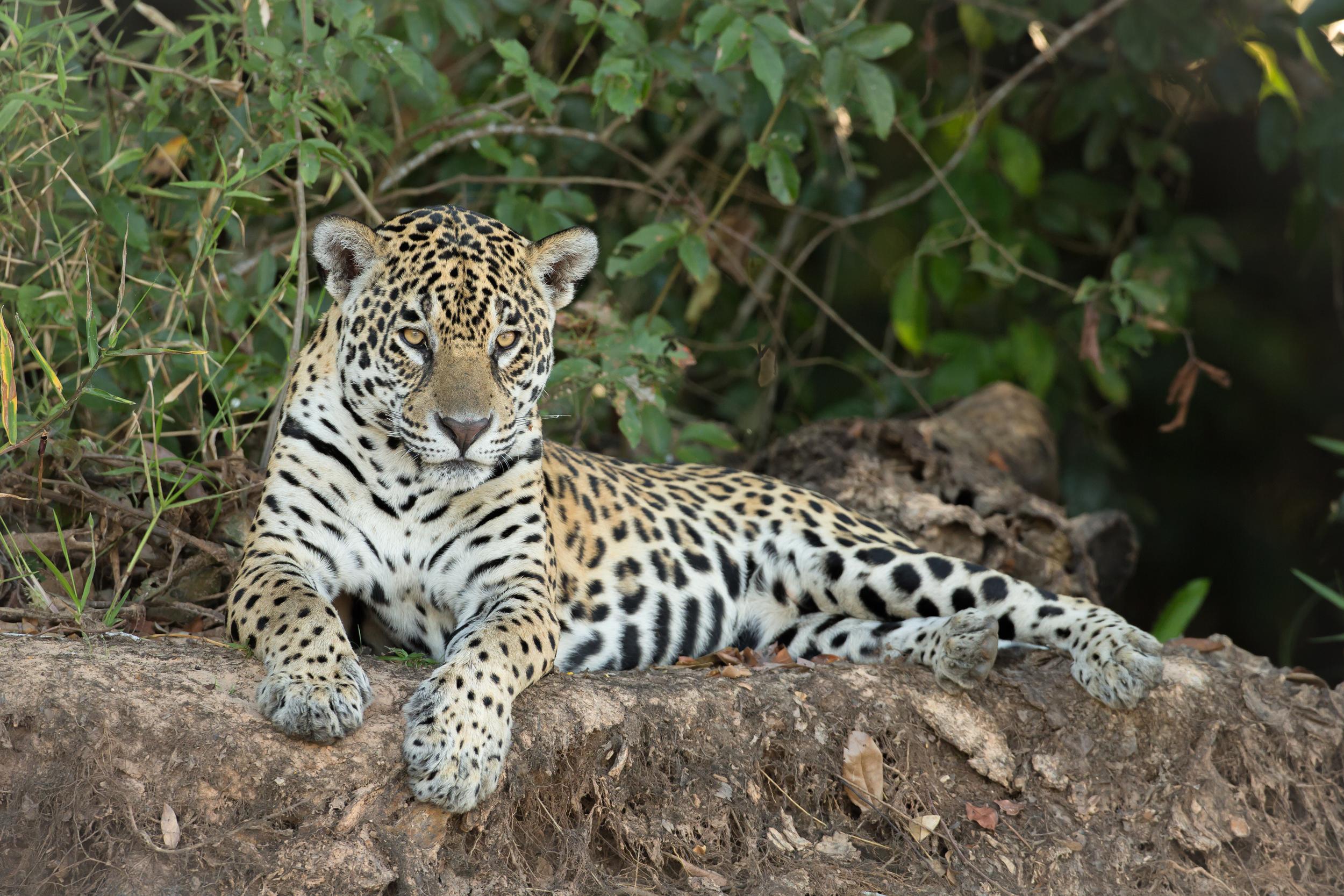 Jaguar, Rio São Lourenço, Brazil