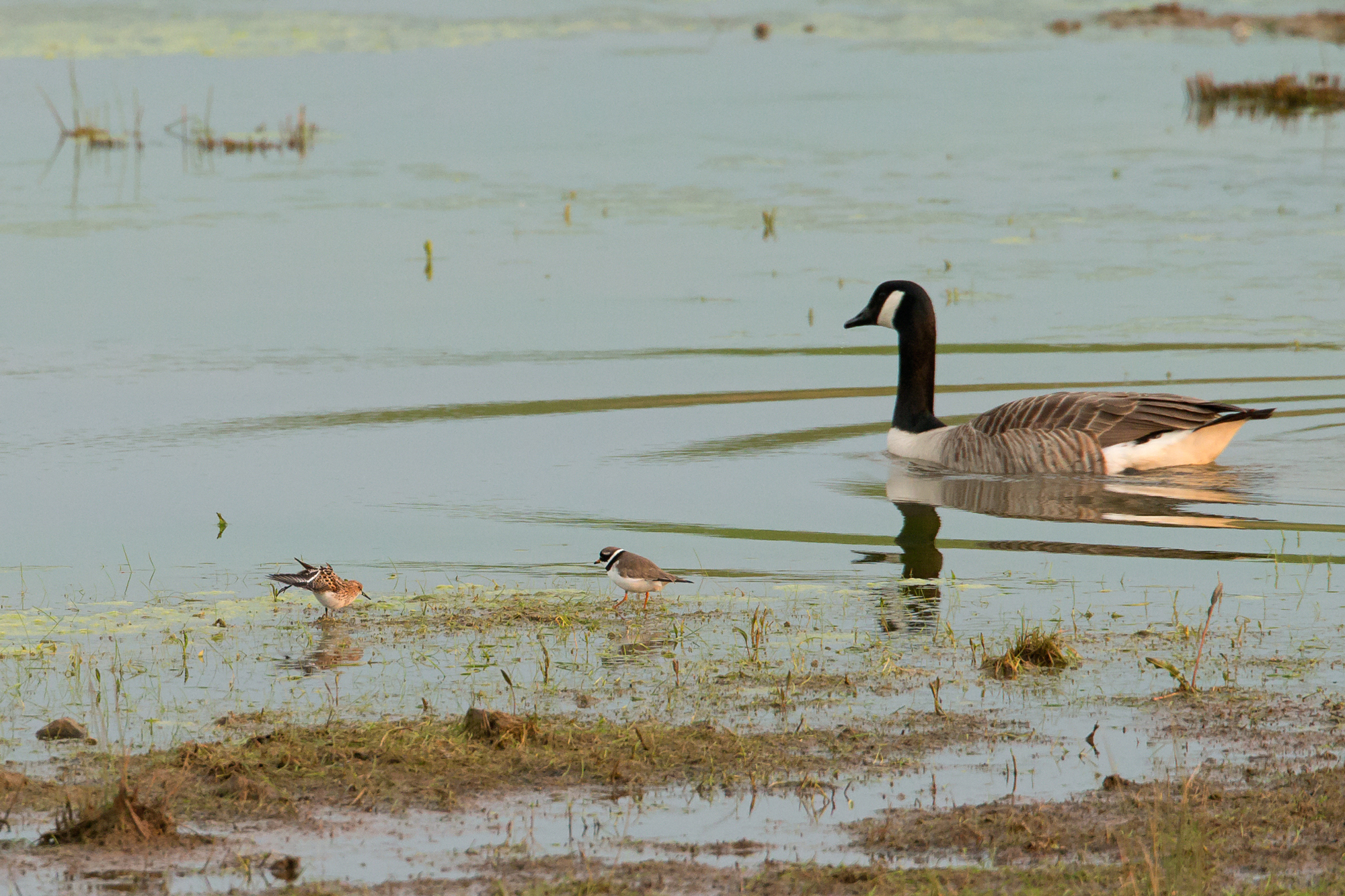 Little and large. Little Stint and Common Ringed Plover with the unwanted and biggest lump of biomass, Canada Goose.