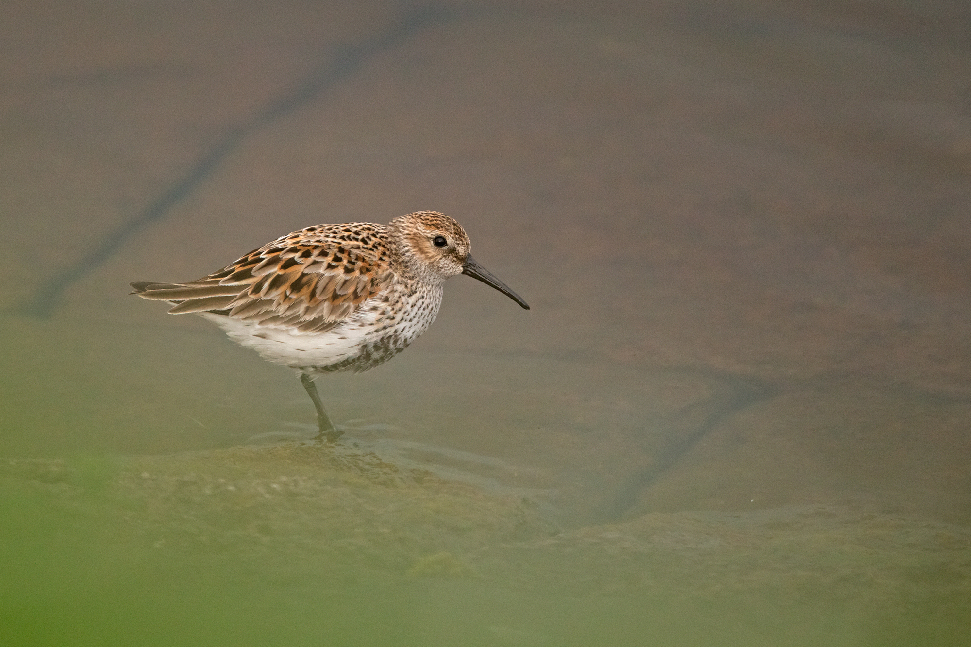 Dunlin on the shore of Alston no.1